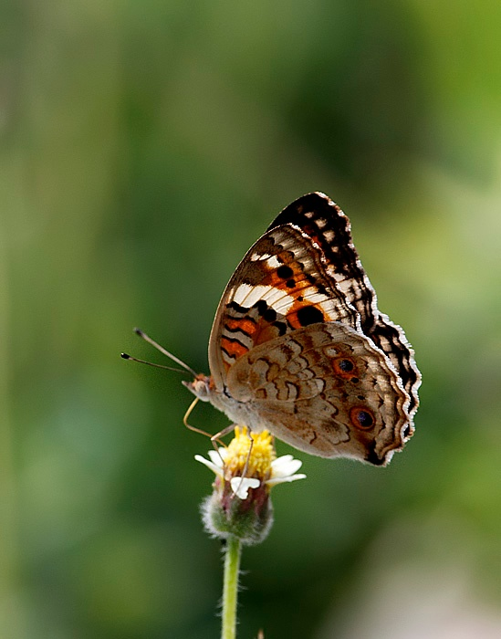 Butterfly by Ravinarayana Chakravarthy