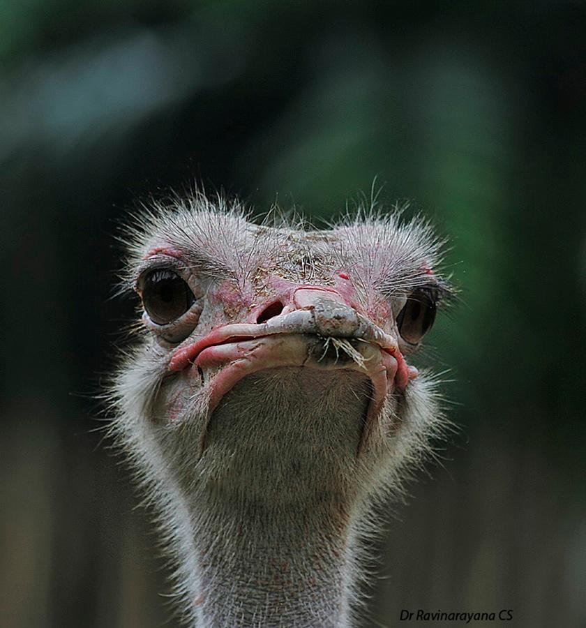 Ostrich........ by Ravinarayana Chakravarthy
