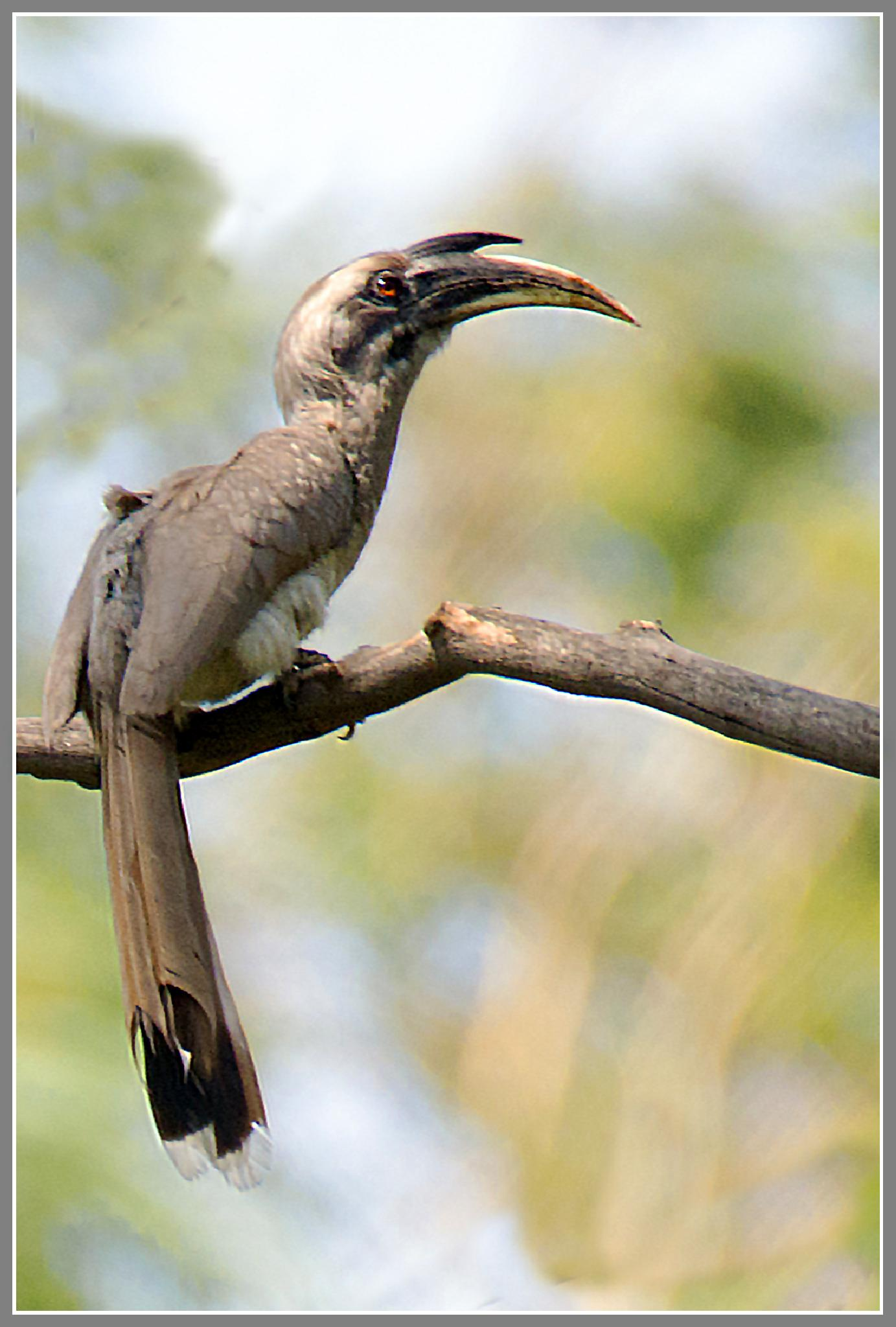 Indian Grey Hornbill by Sanjeev Ski