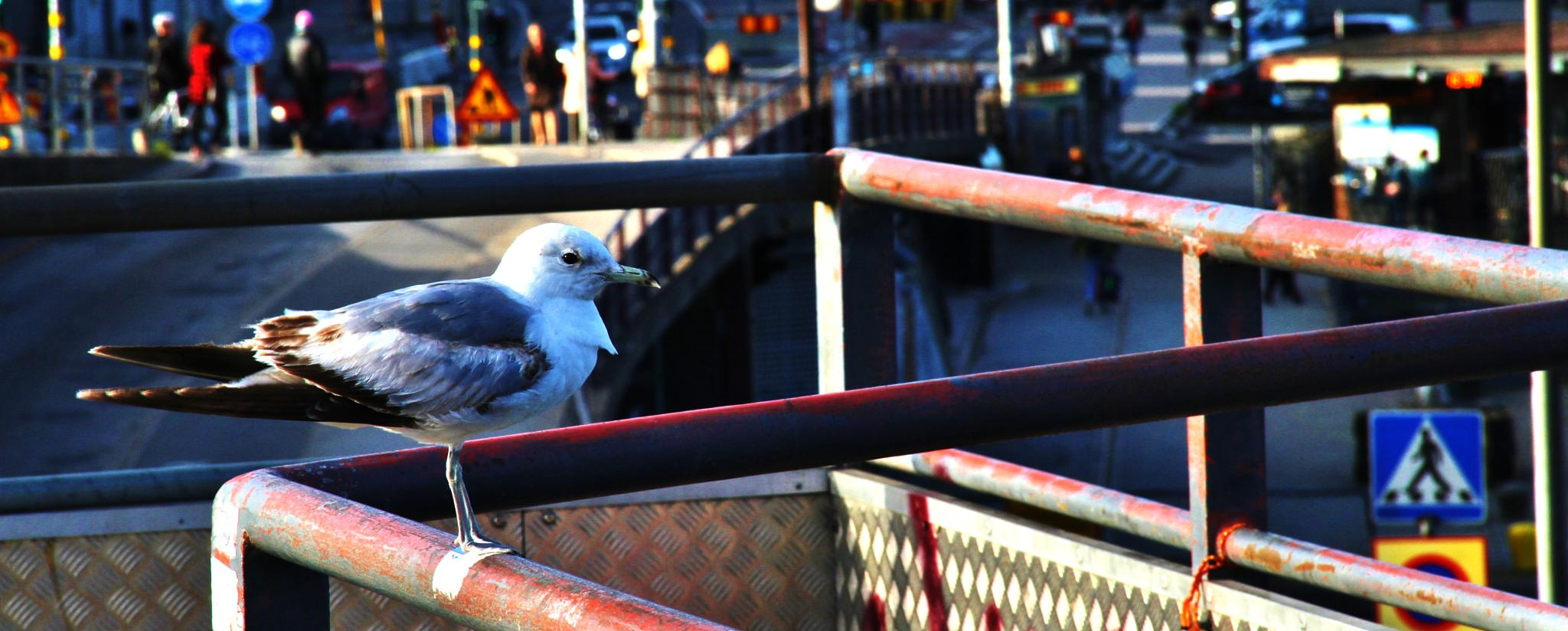 City seagull by Hans Andreas Alexander Müller