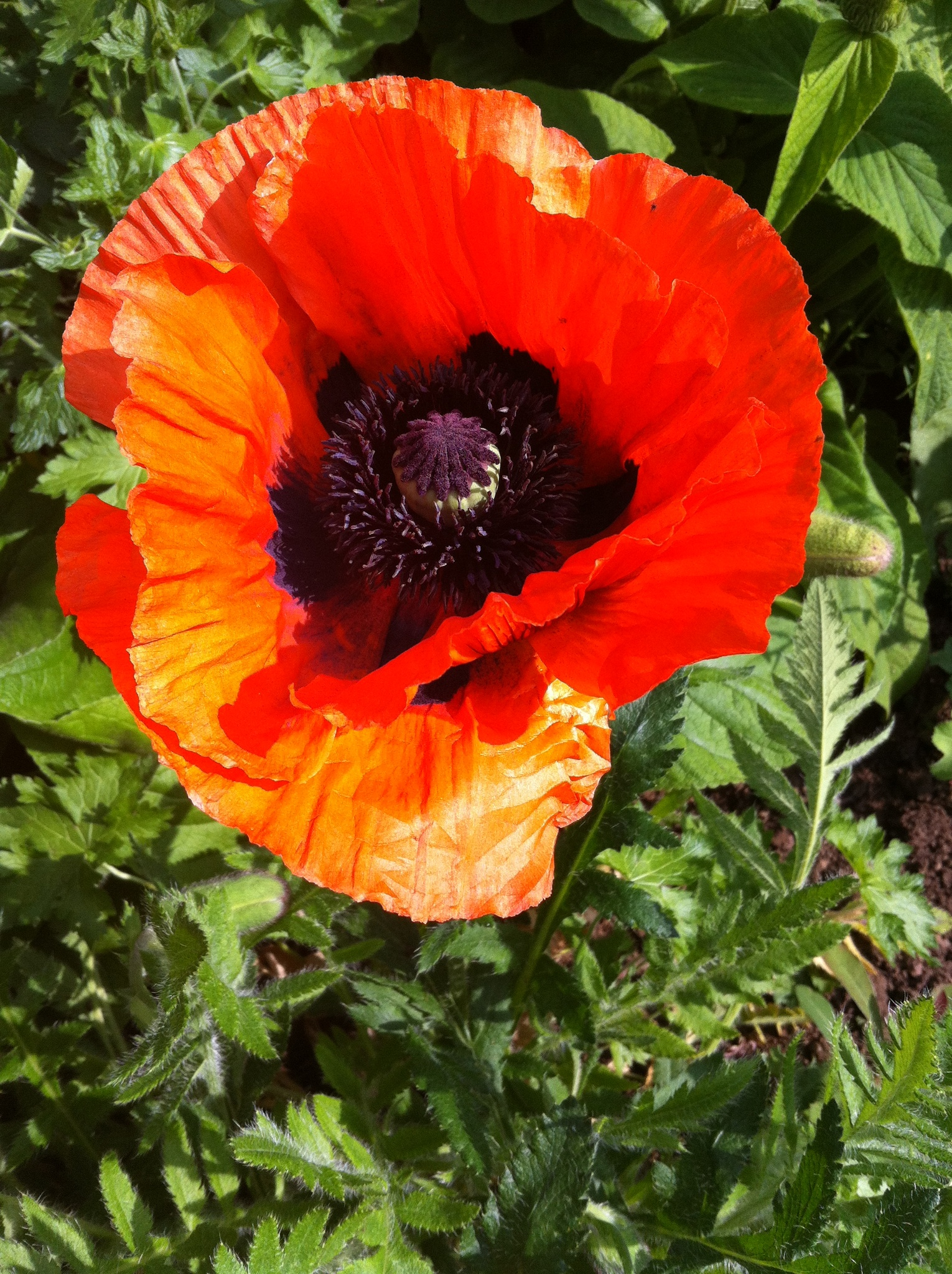Photo in Nature #poppy-brightly-bloom