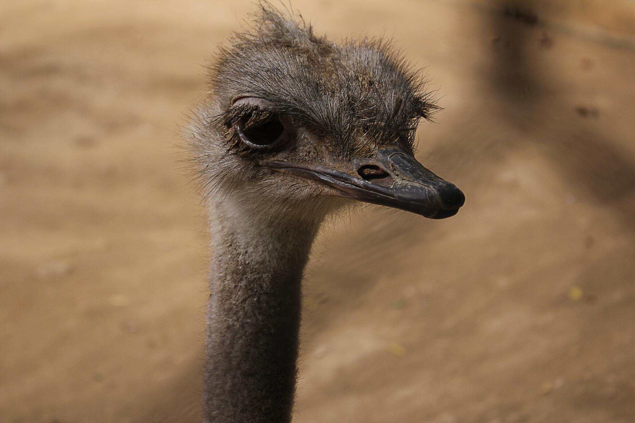 ostrich by berrim othmane