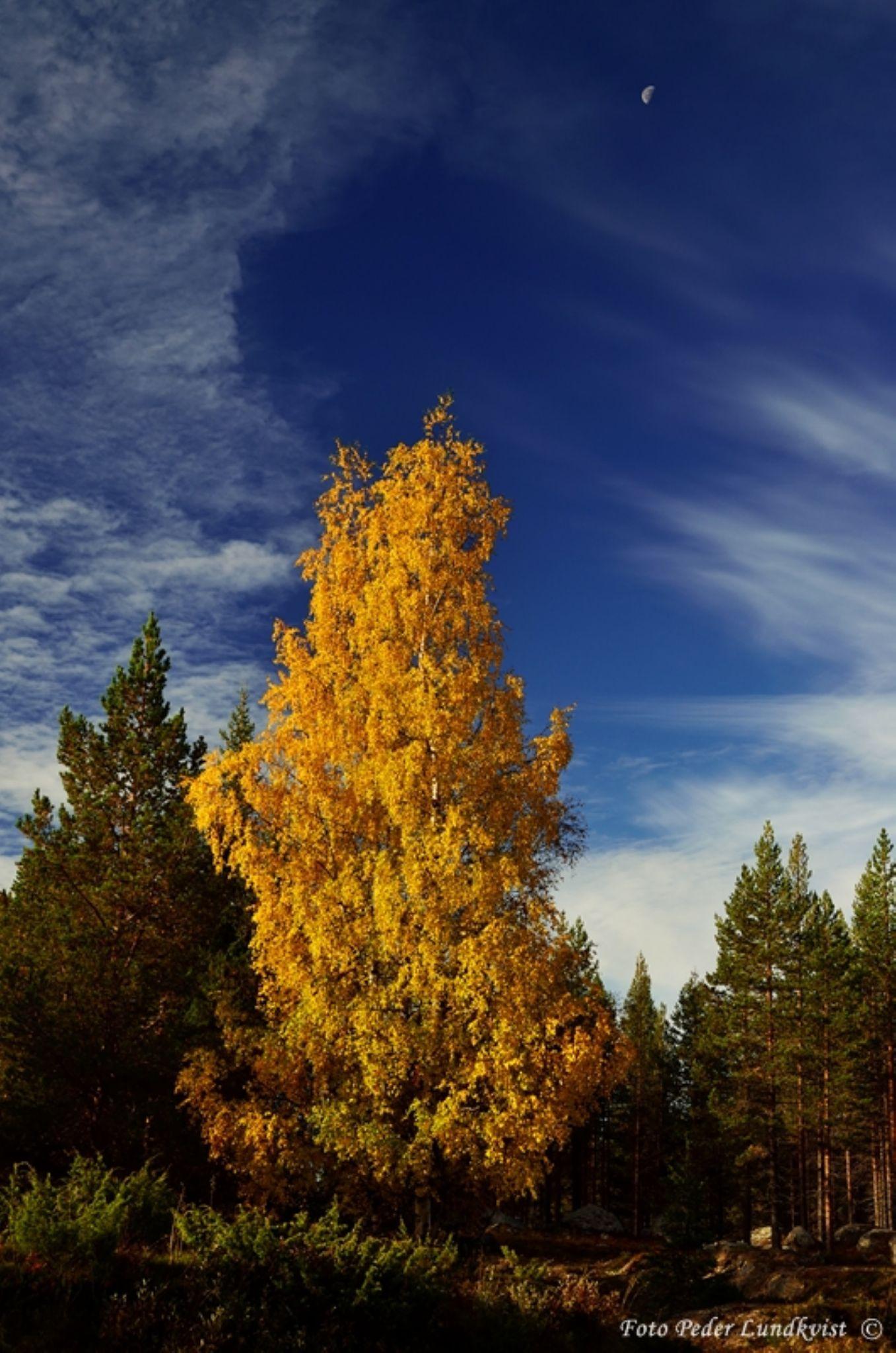 Autumn birch by aplog1