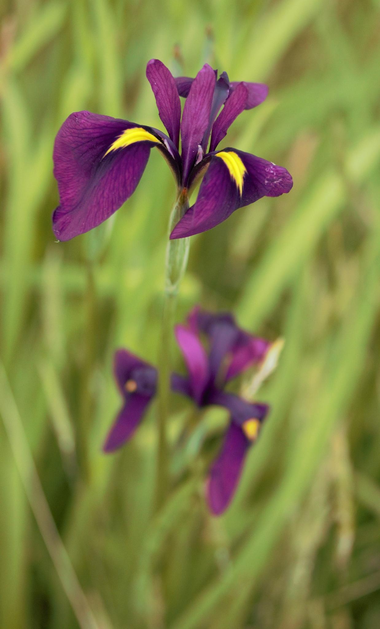Iris Ensata by Kazumasa Ito