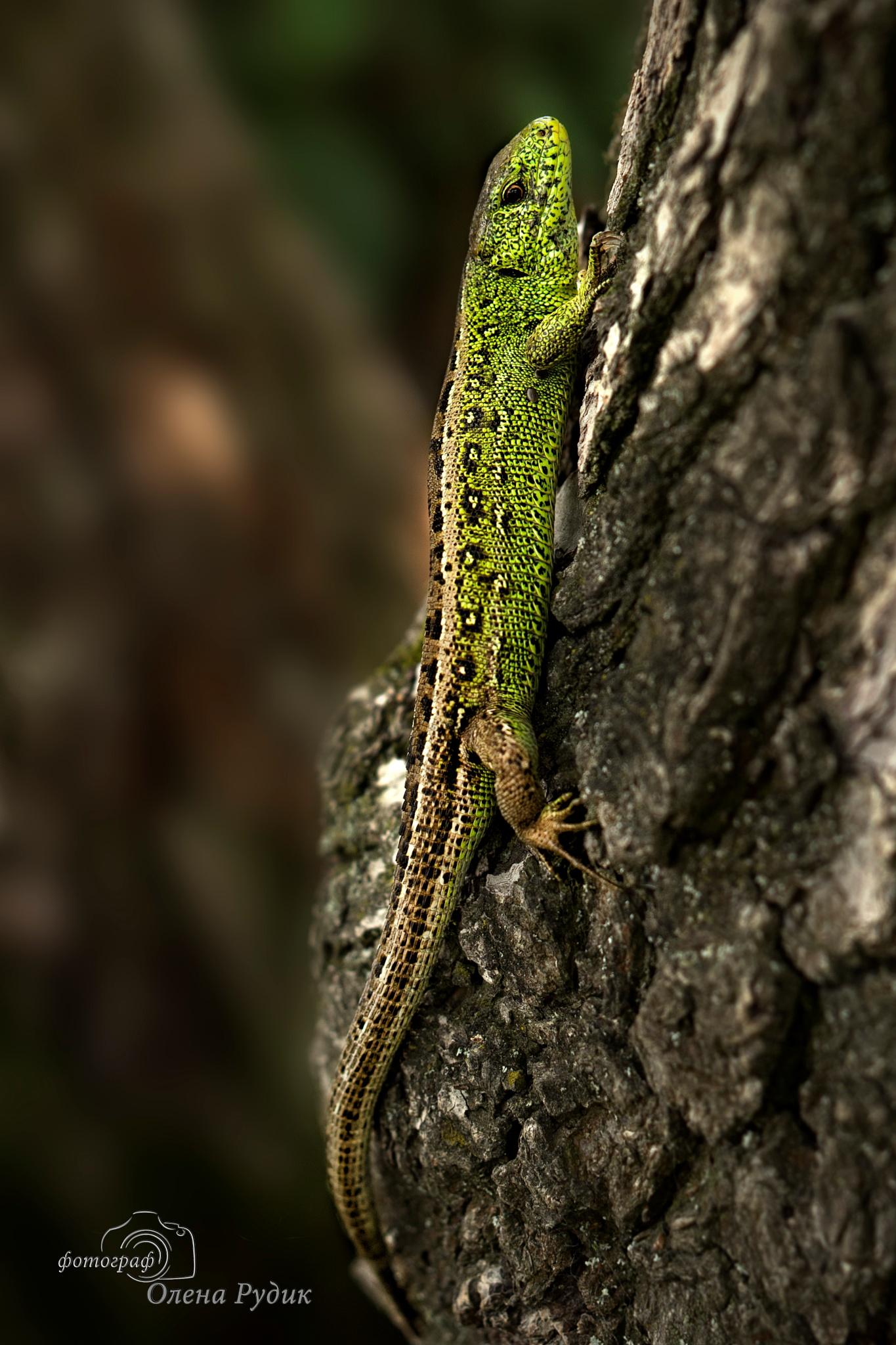 lizard by Olena