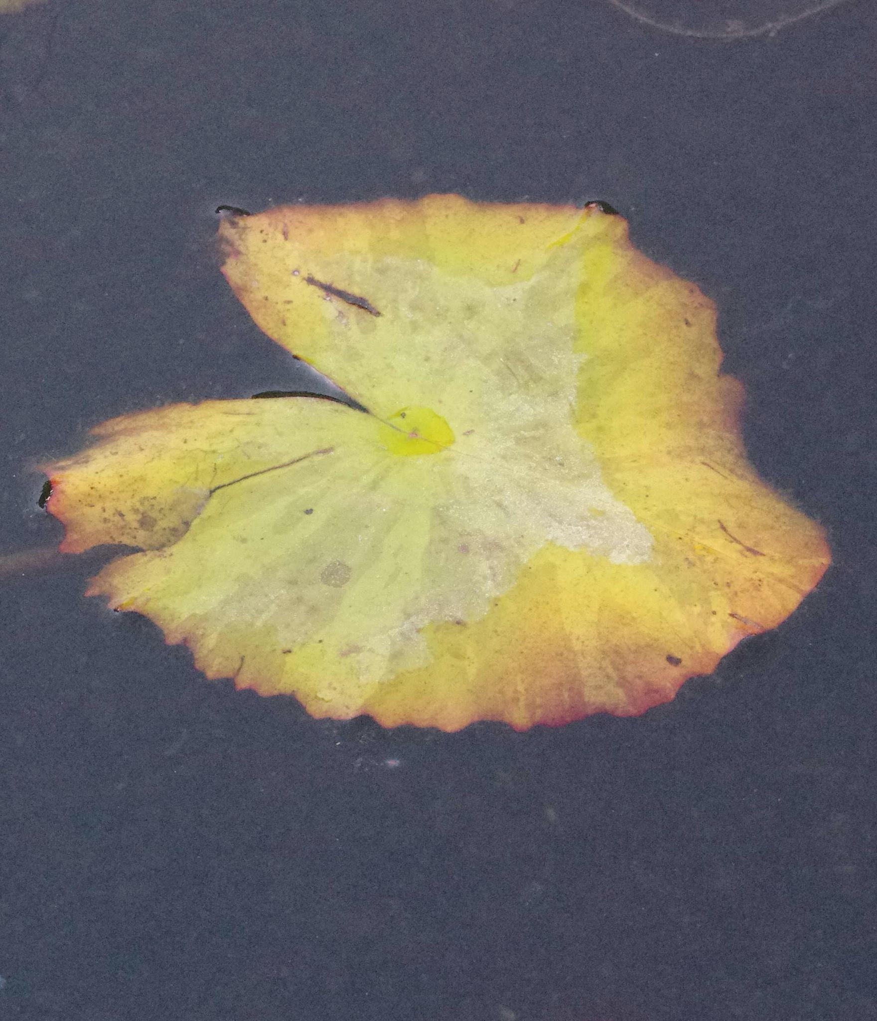 Pond Leaf by EdwardStern