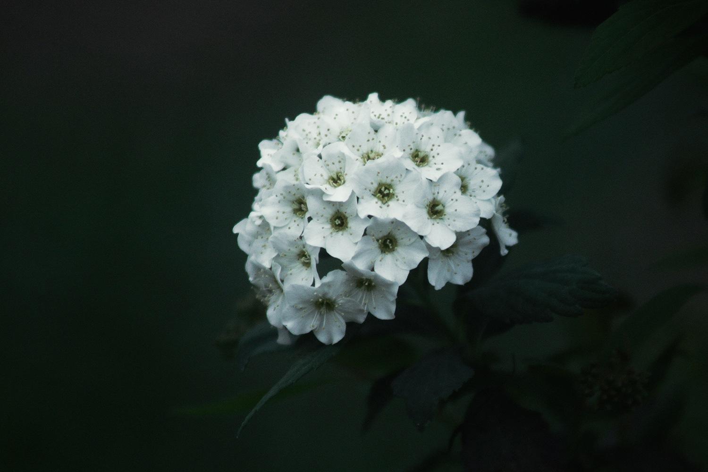 Spiraea Cantoniensis by barbarabezina