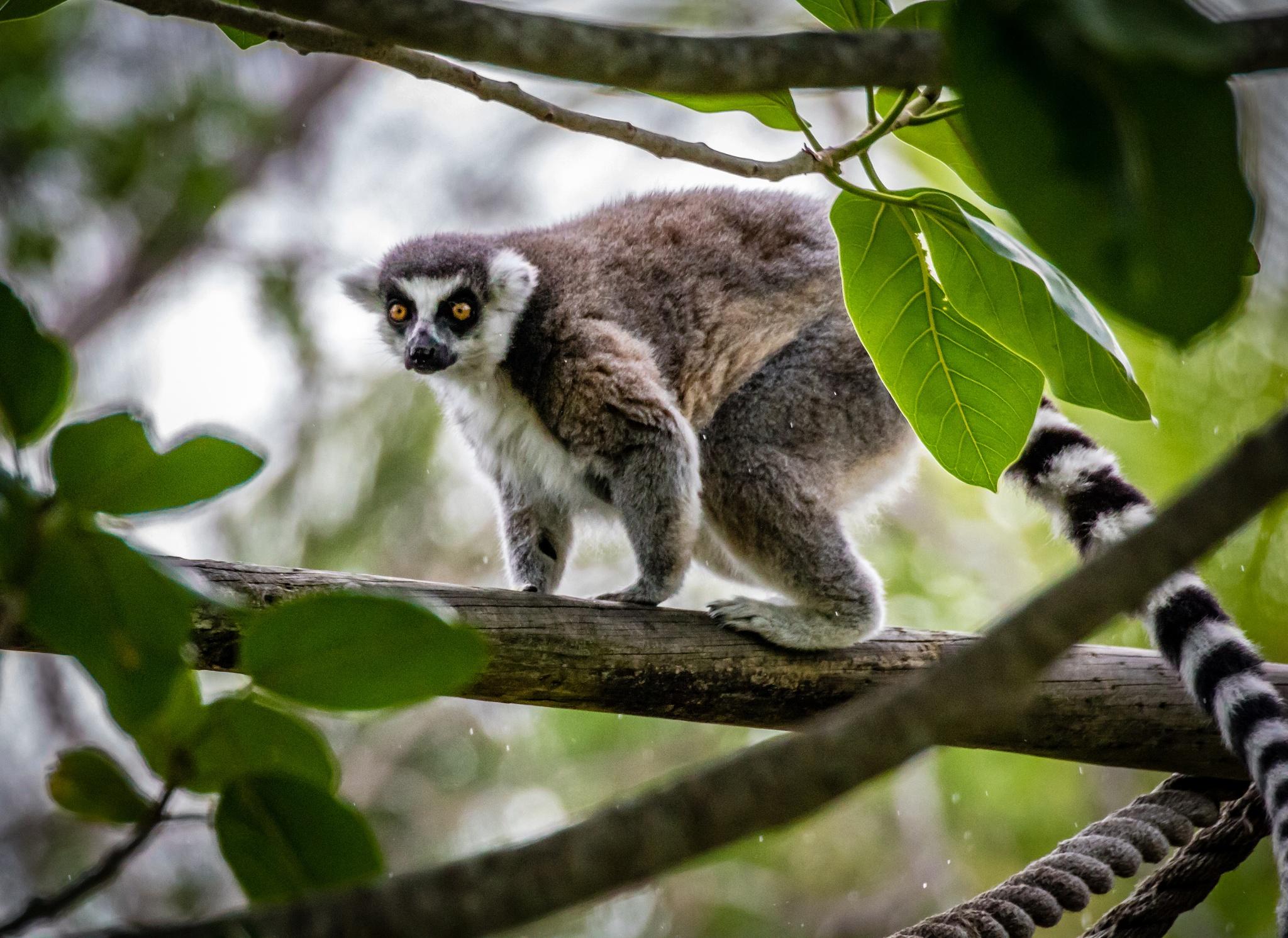 Lemur under rain by Yaroslav Sobko