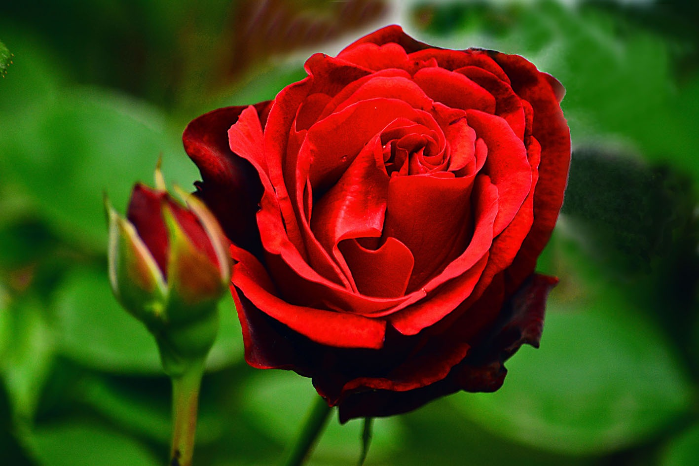 Photo in Nature #flower #rose #flora #red #green #close up