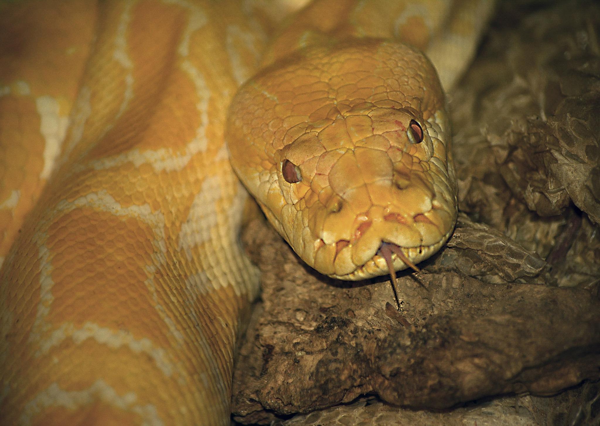Albino Burmese Python by Mirza Cengic