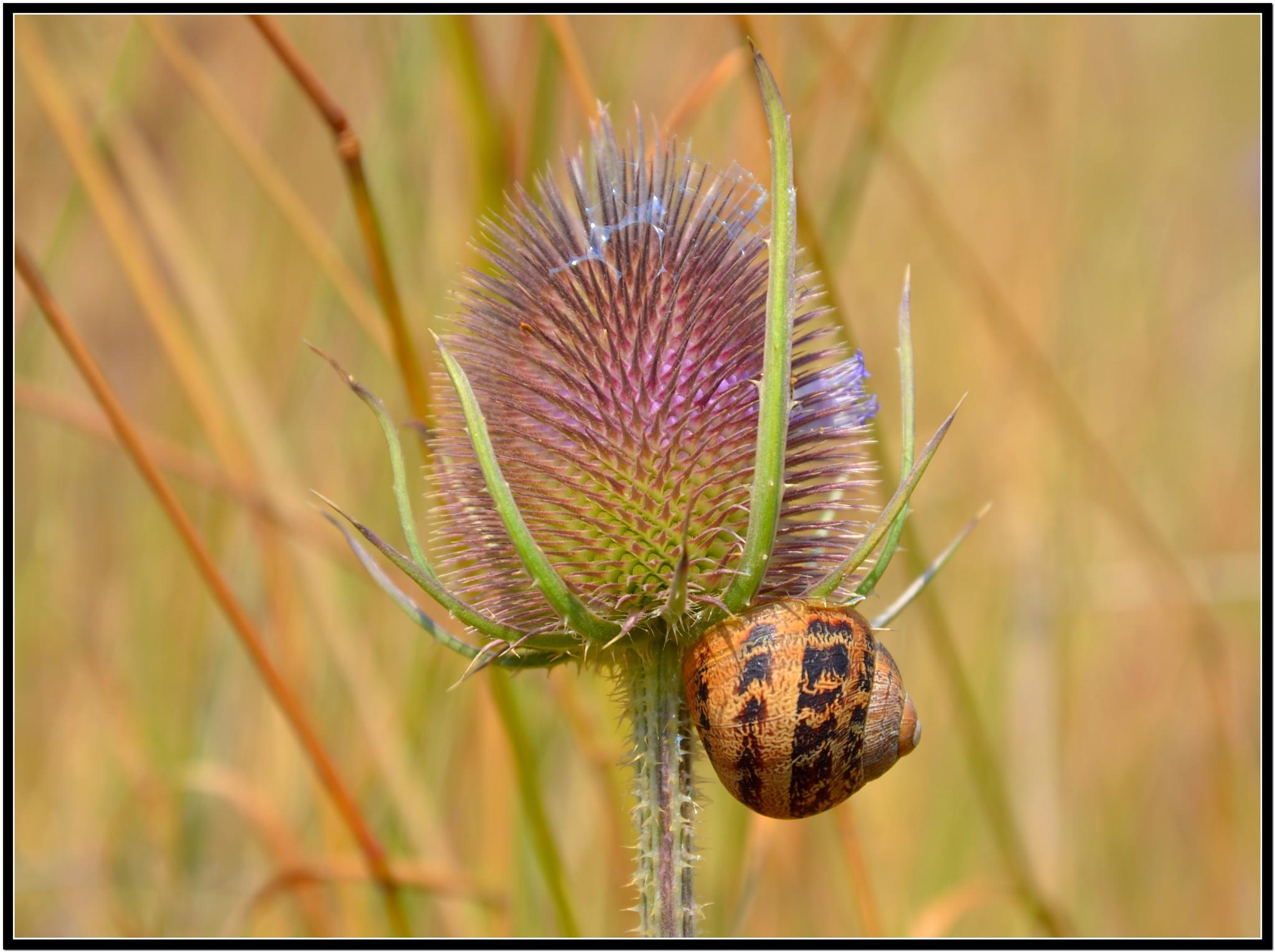 Snail on a Teasle. by Johnn5