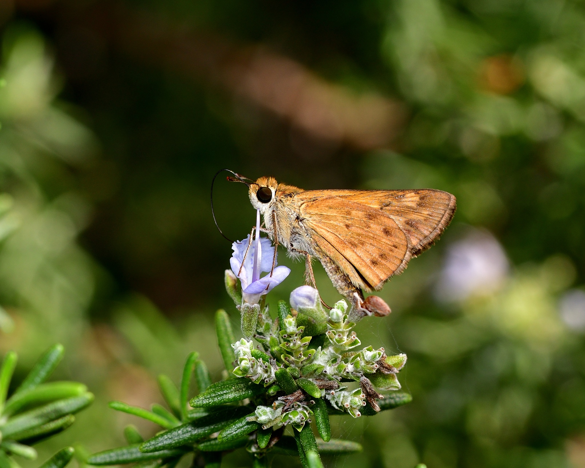 Golden Skipper by SheilaPatterson
