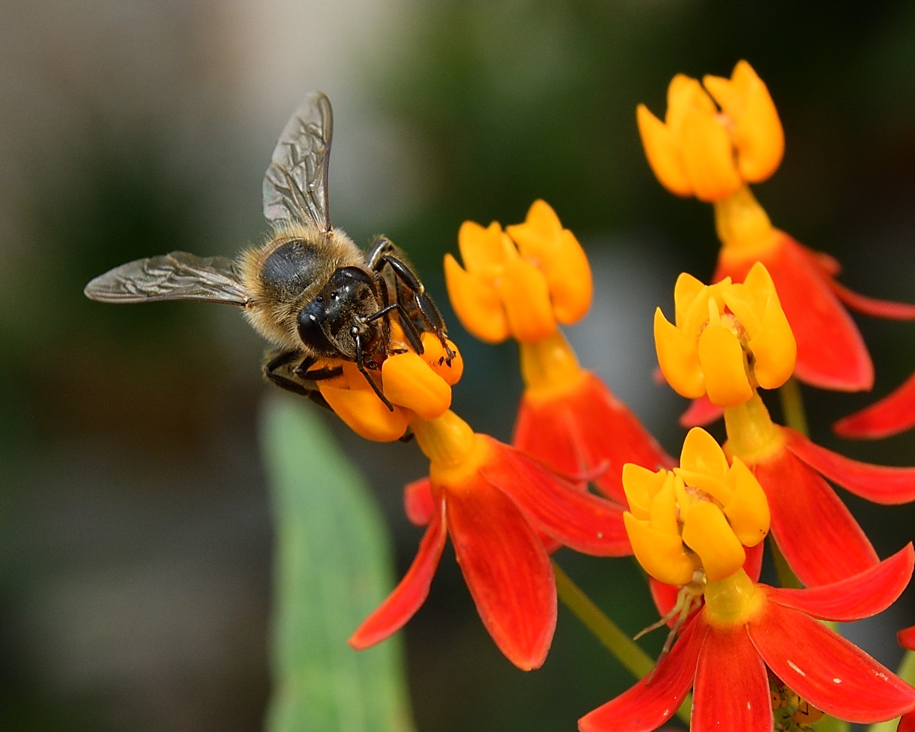 Anterior View of Honey Bee (Apis) by SheilaPatterson