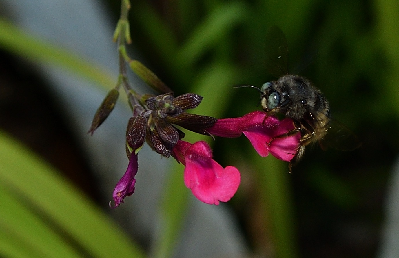 Mining bee by SheilaPatterson