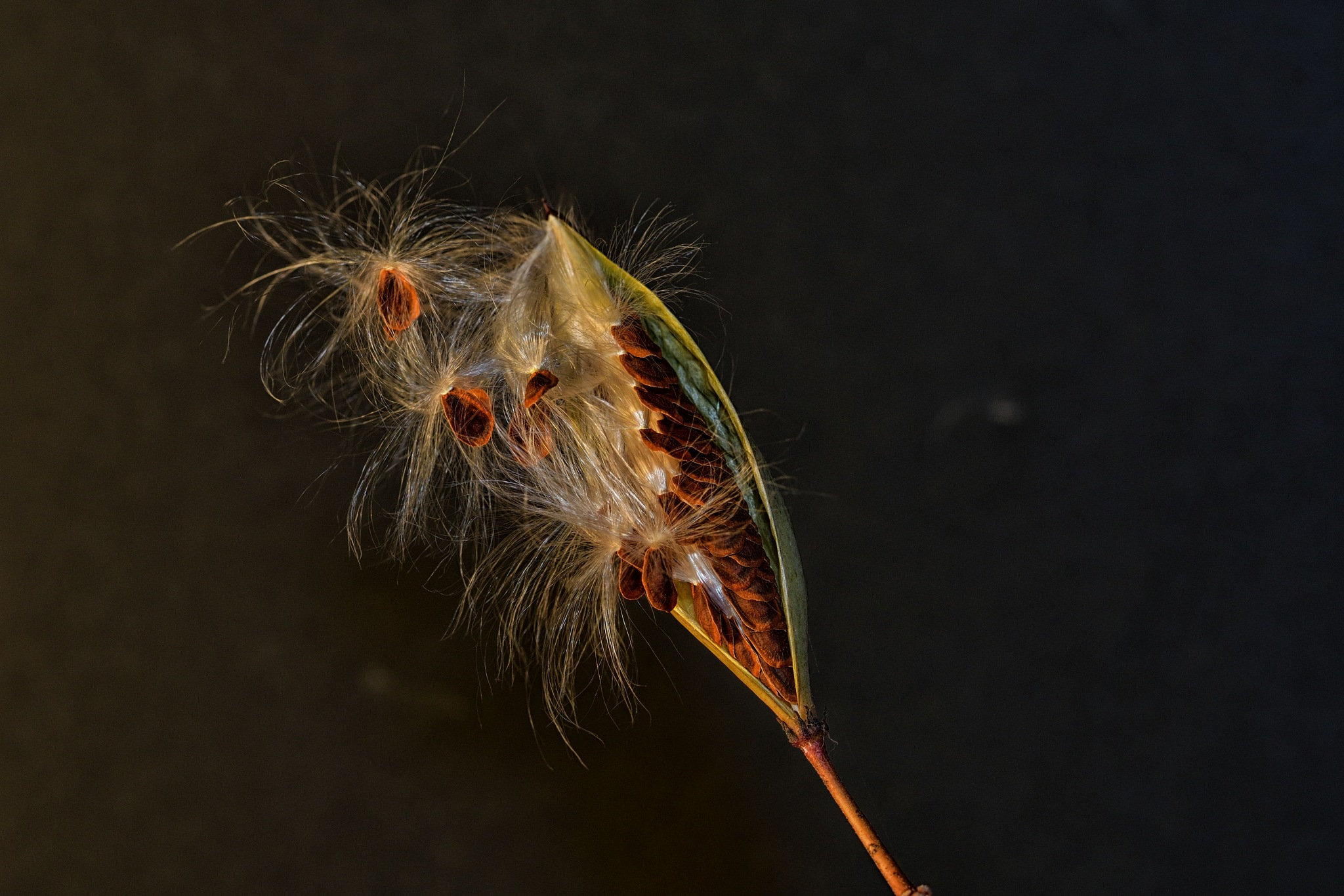 Milkweed Seed Pod by SheilaPatterson