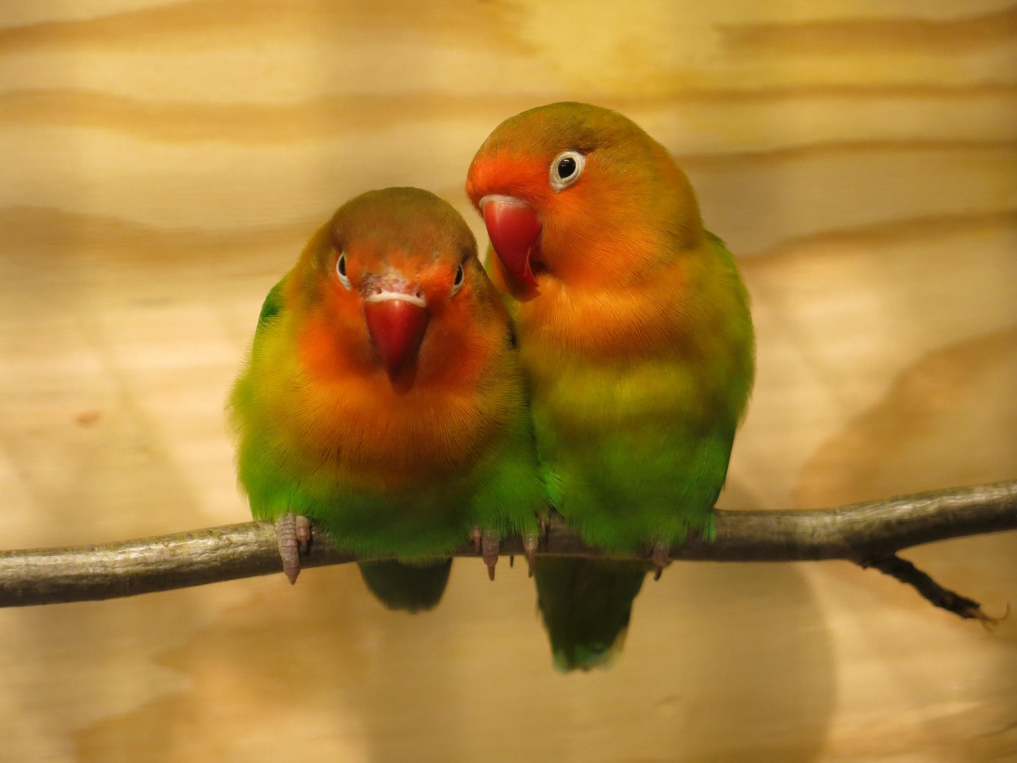 lovebirds by majaphoto