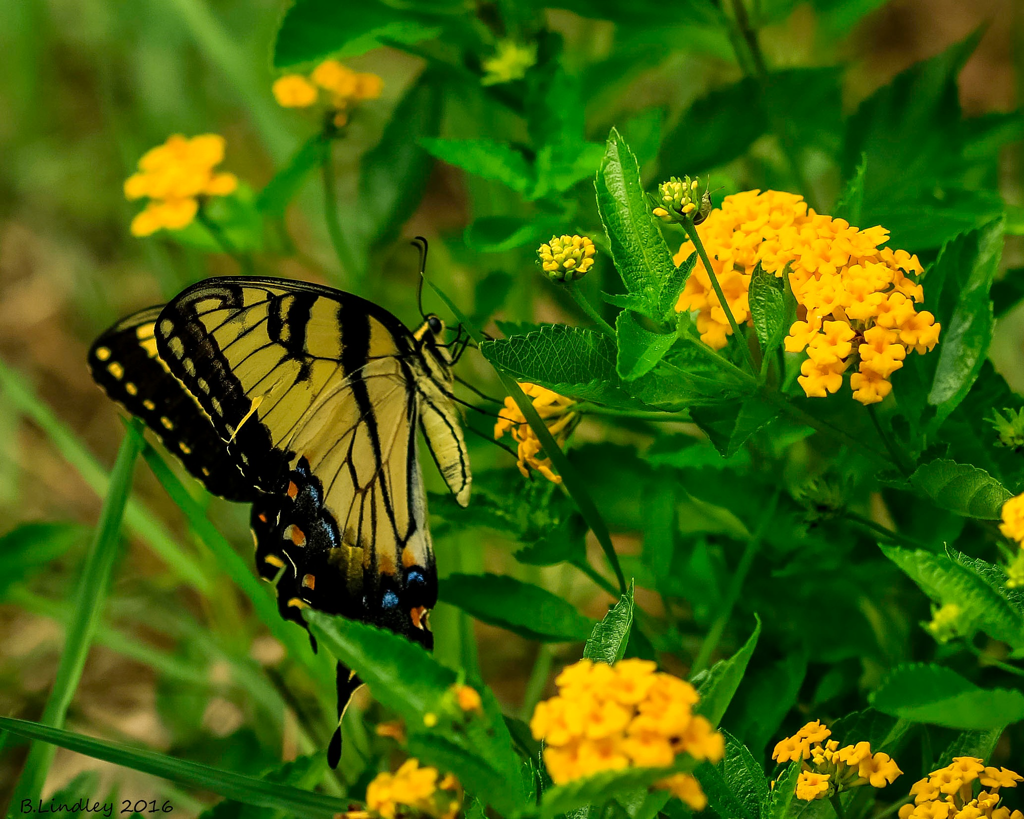 Tiger Swallowtail by BobbyLindley