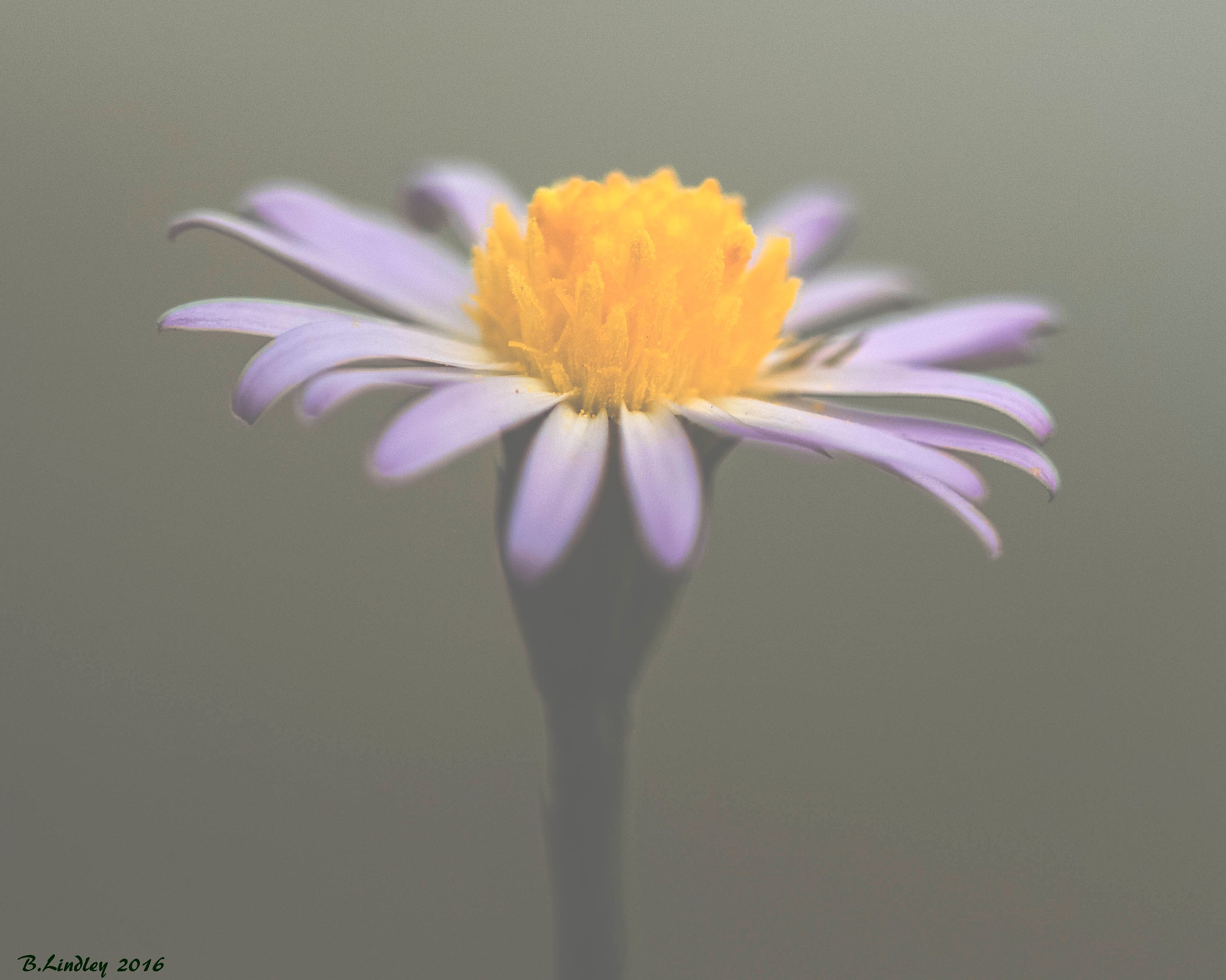 Small Wildflower by BobbyLindley