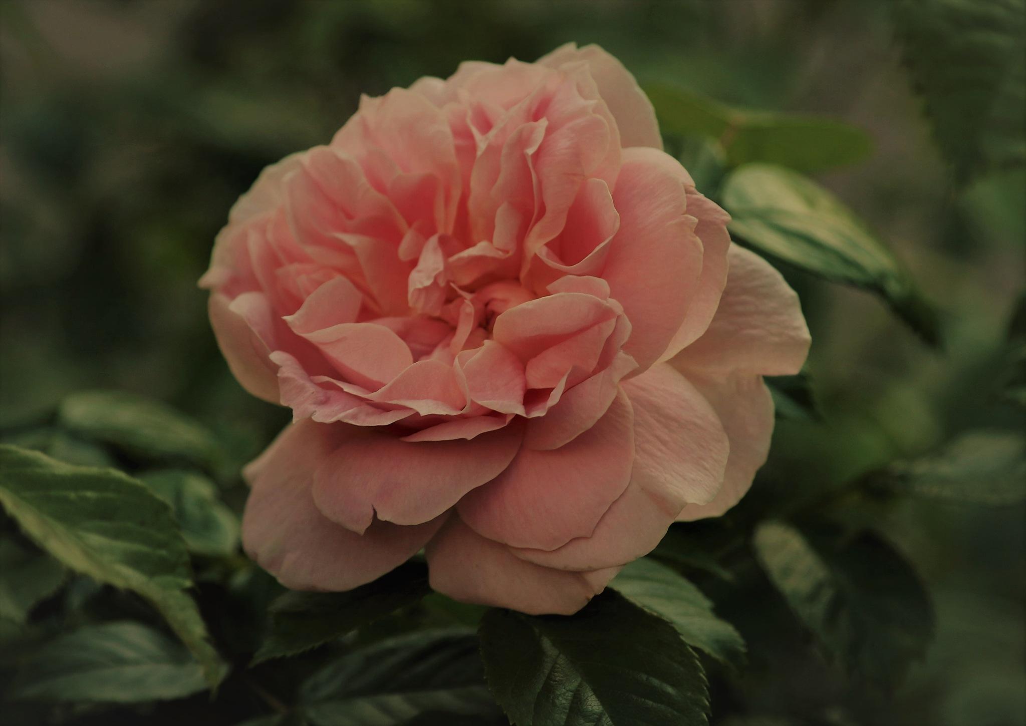 Rose in the Summernigh. by KerstinP.