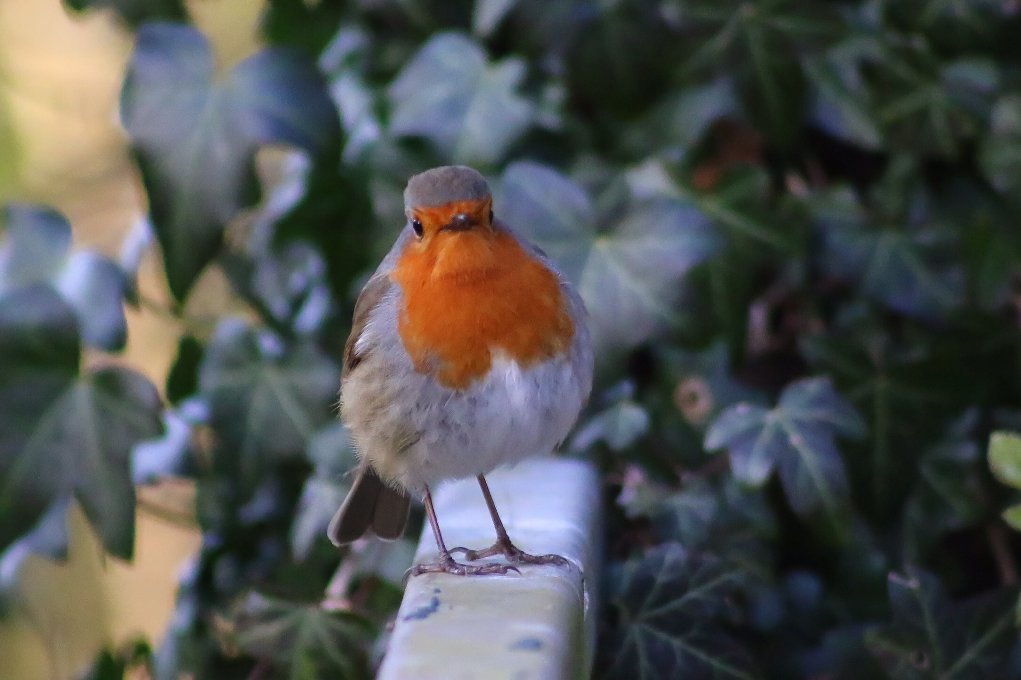 Friendly Robin by Kim Shorter