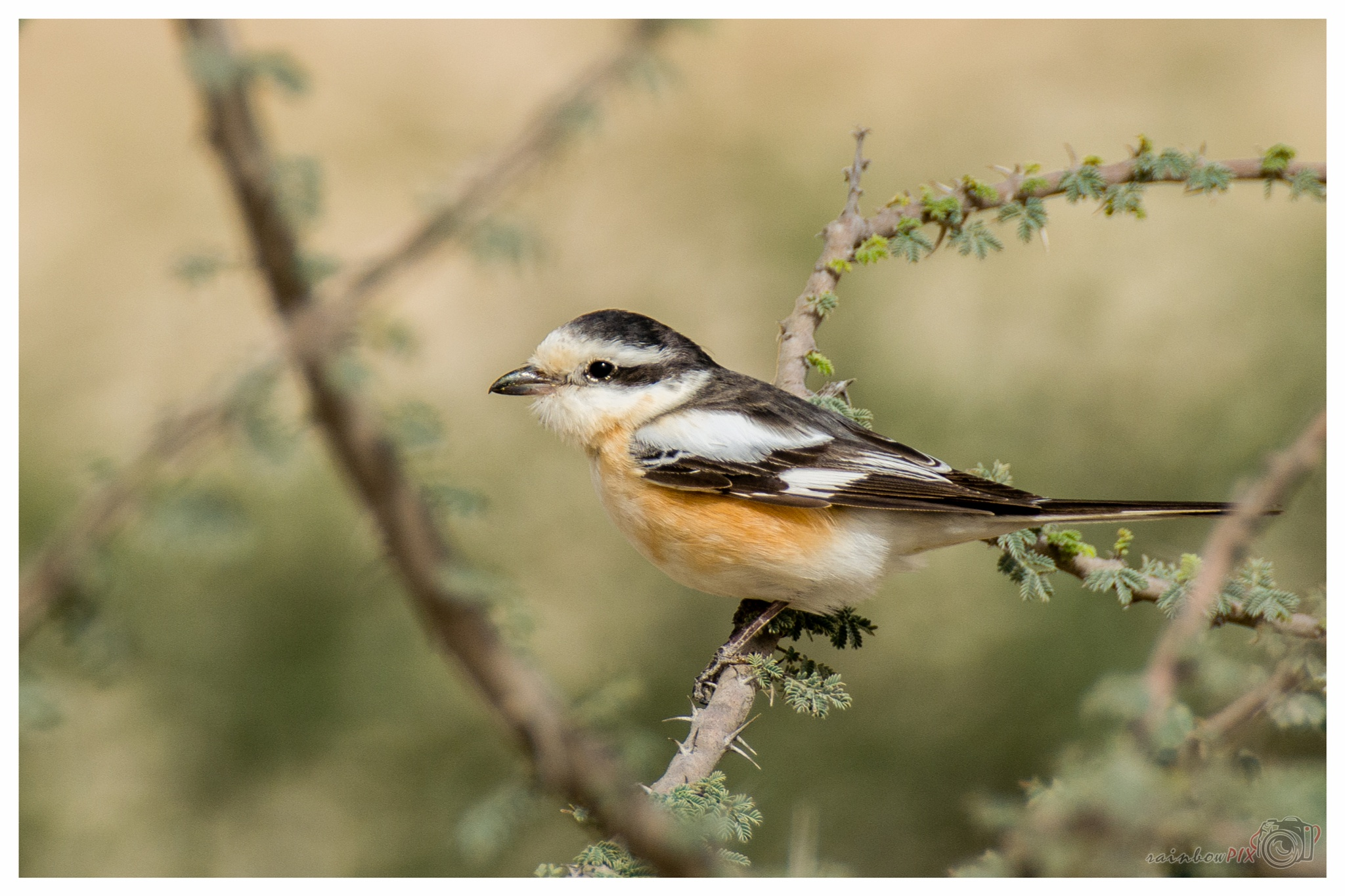 Masked Shrike by Jude Vincy
