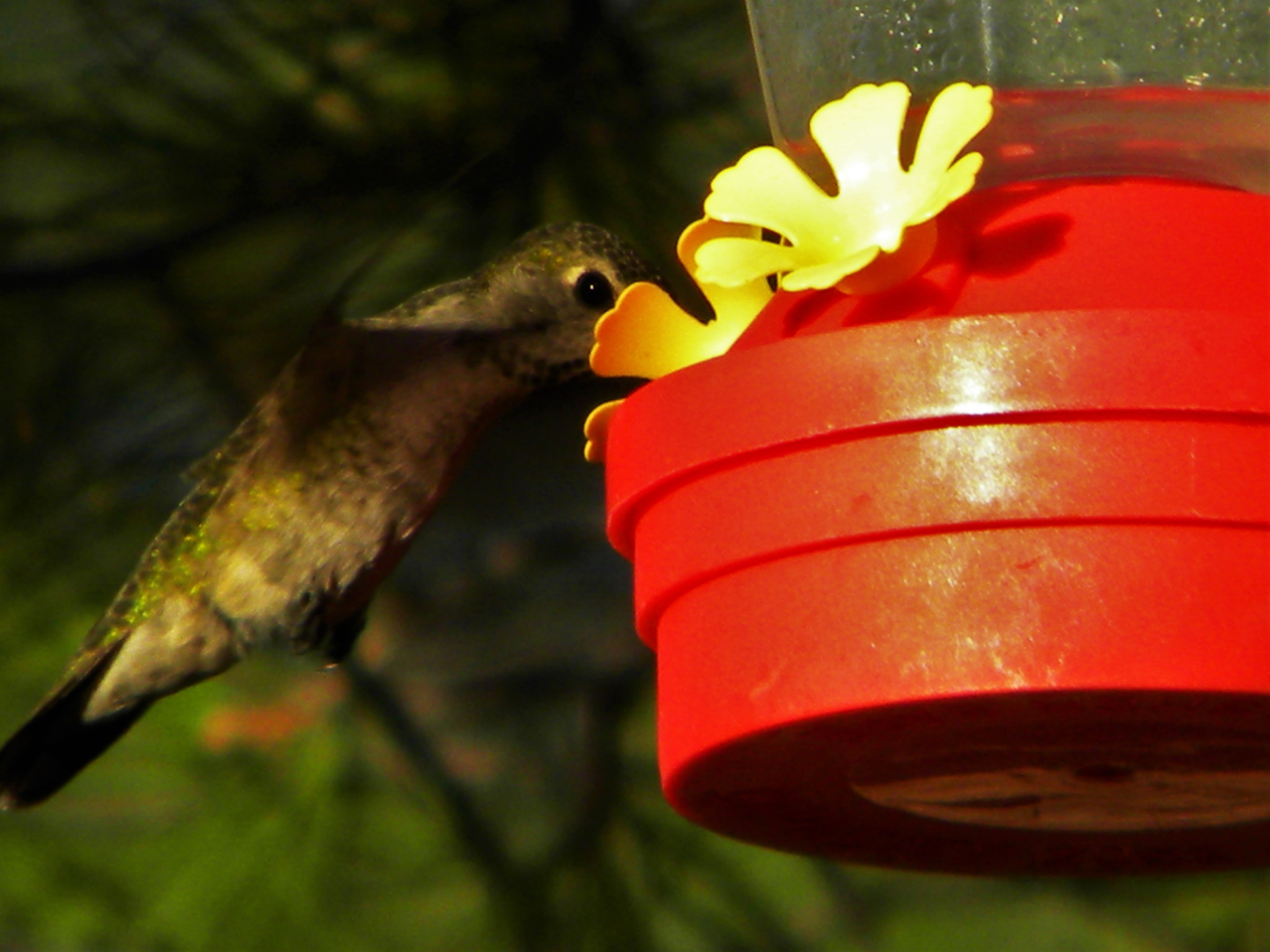 Humming Bird by Alan Wertsbaugh