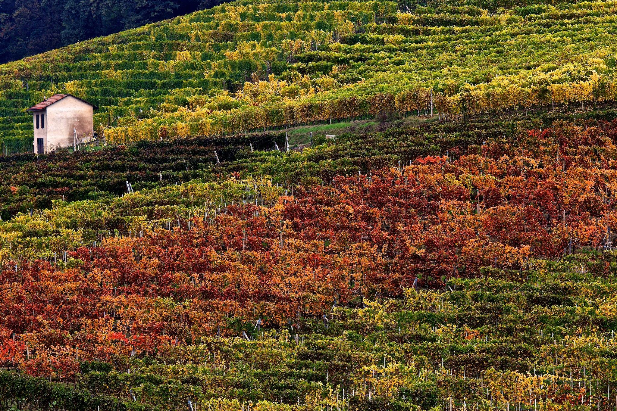 Walking through the vineyards by Giovanni Battagliola