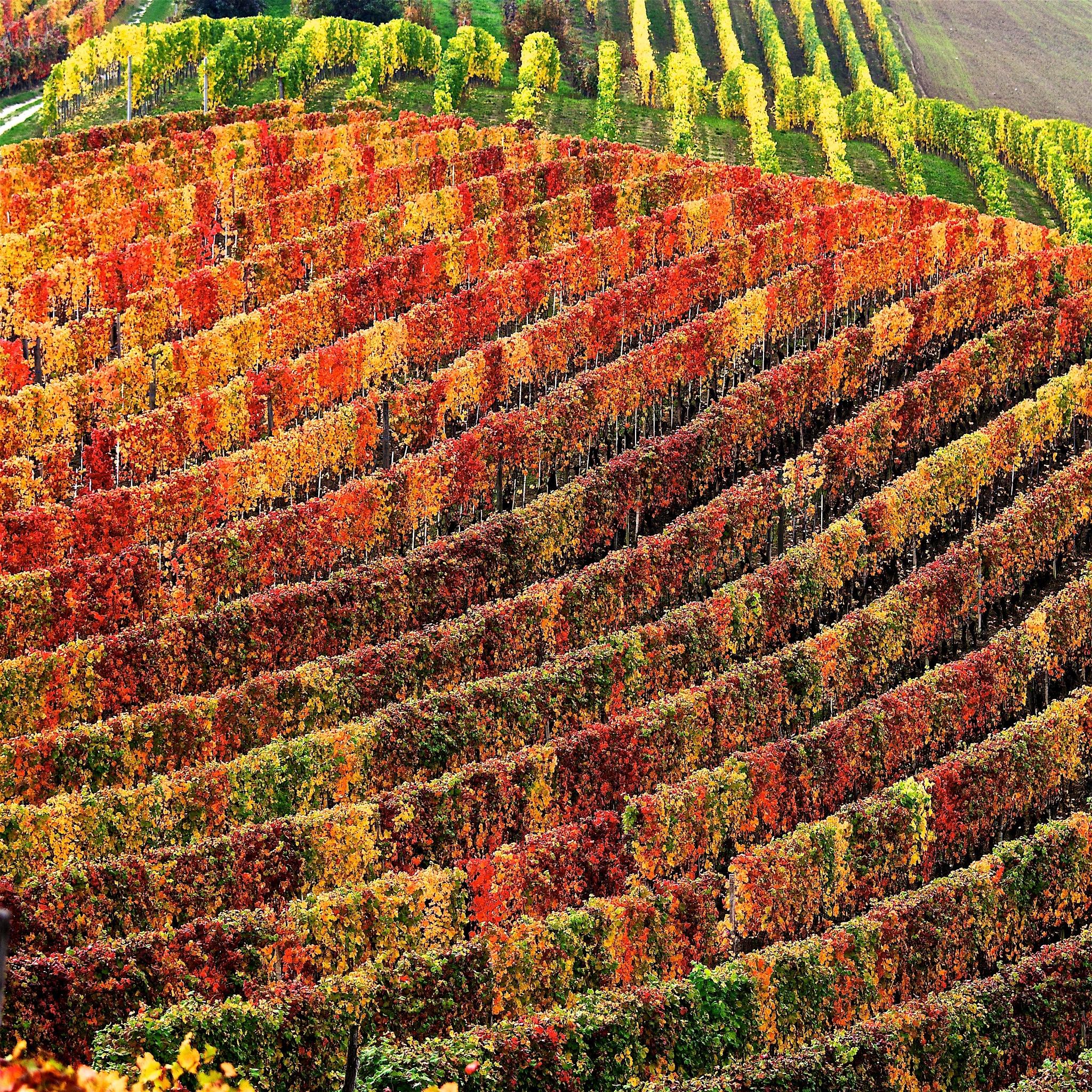 Walking through the vineyards - part one by Giovanni Battagliola