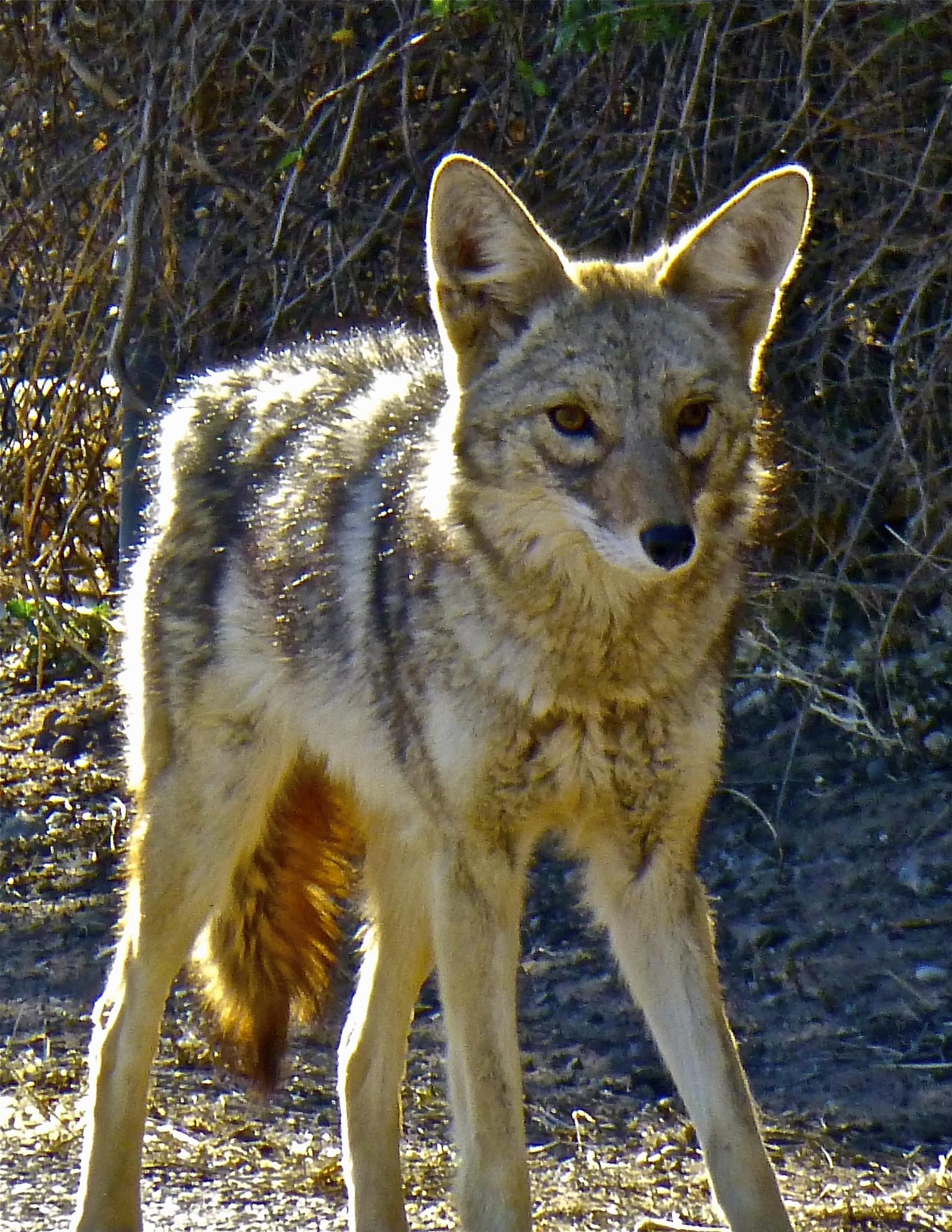 Coyote by Hunter Ten Broeck