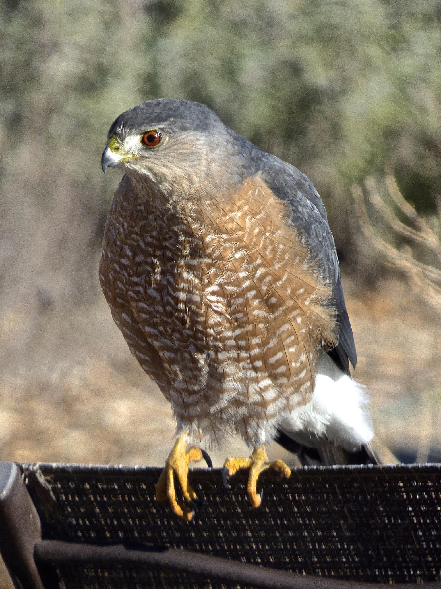 Cooper's Hawk by Hunter Ten Broeck