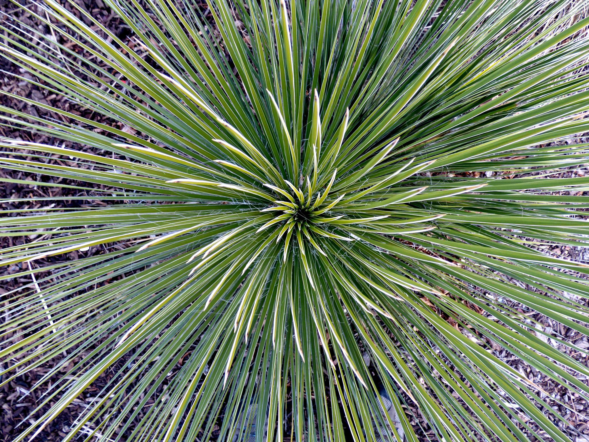 Soapweed Yucca by Hunter Ten Broeck