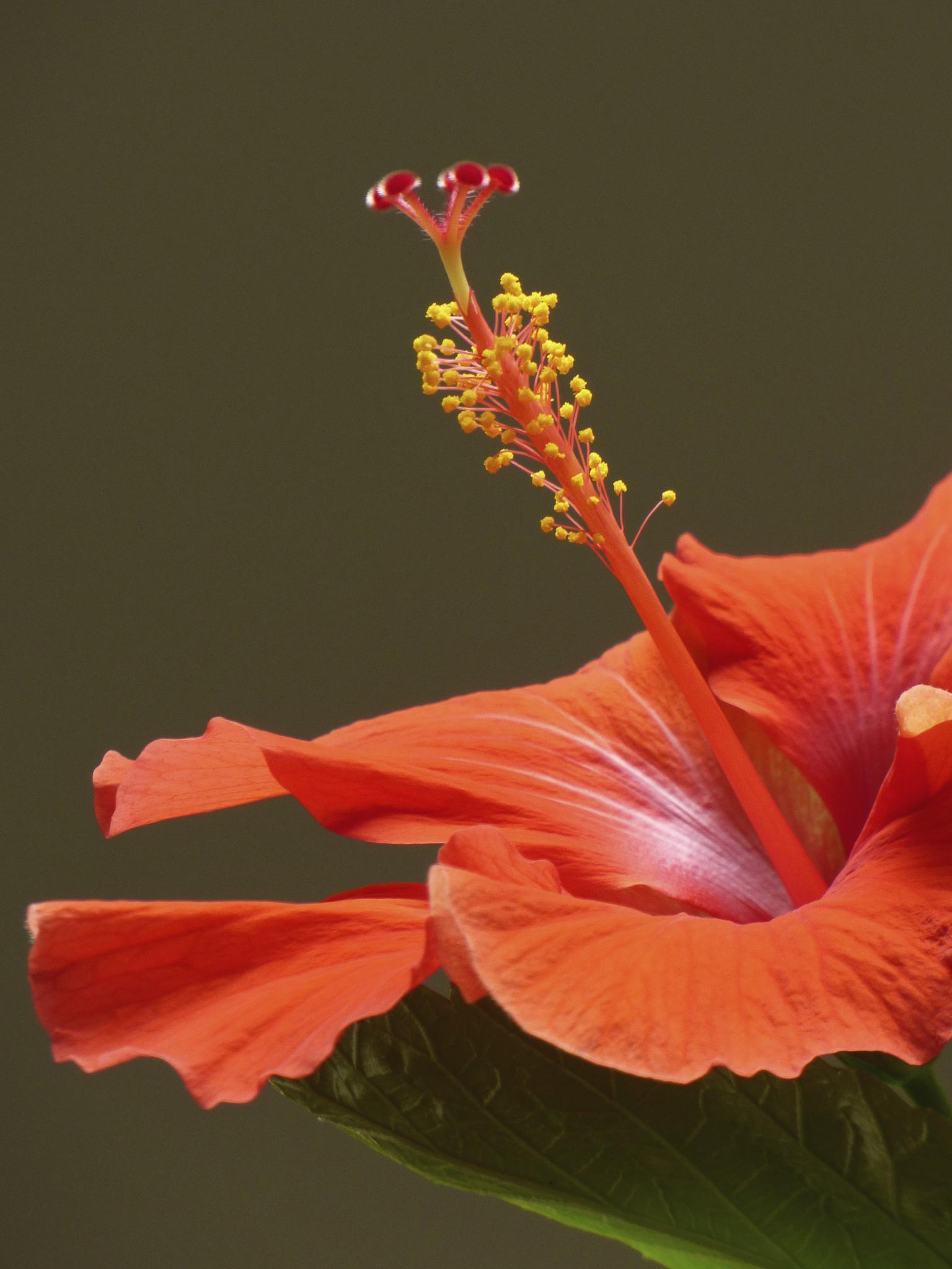 Hibiscus by Hunter Ten Broeck