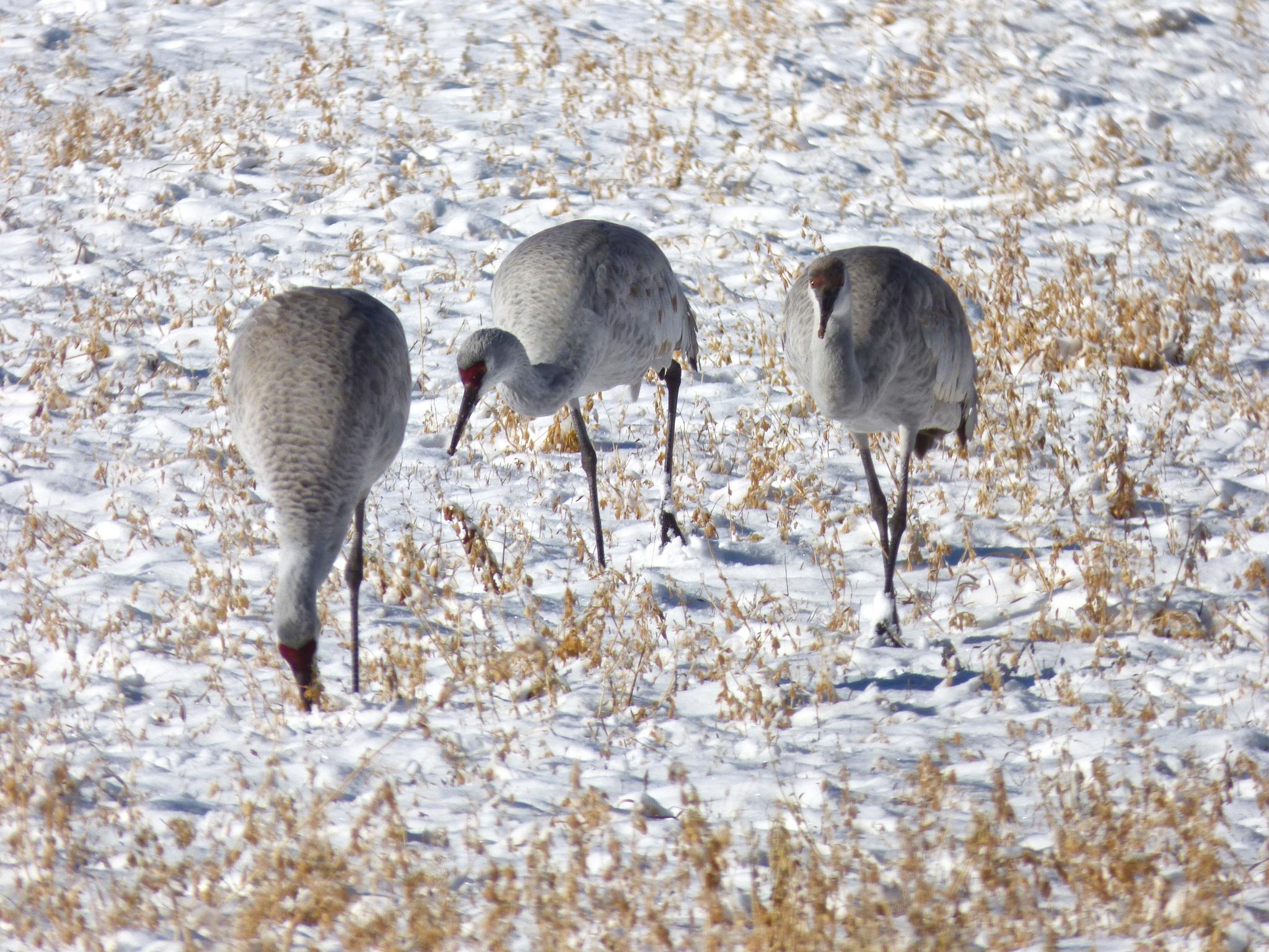 Sandhill Cranes in the snow by Hunter Ten Broeck