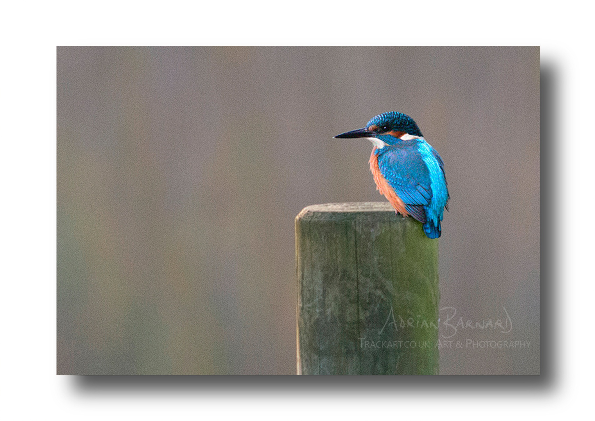 Kingfisher by Adrian Barnard