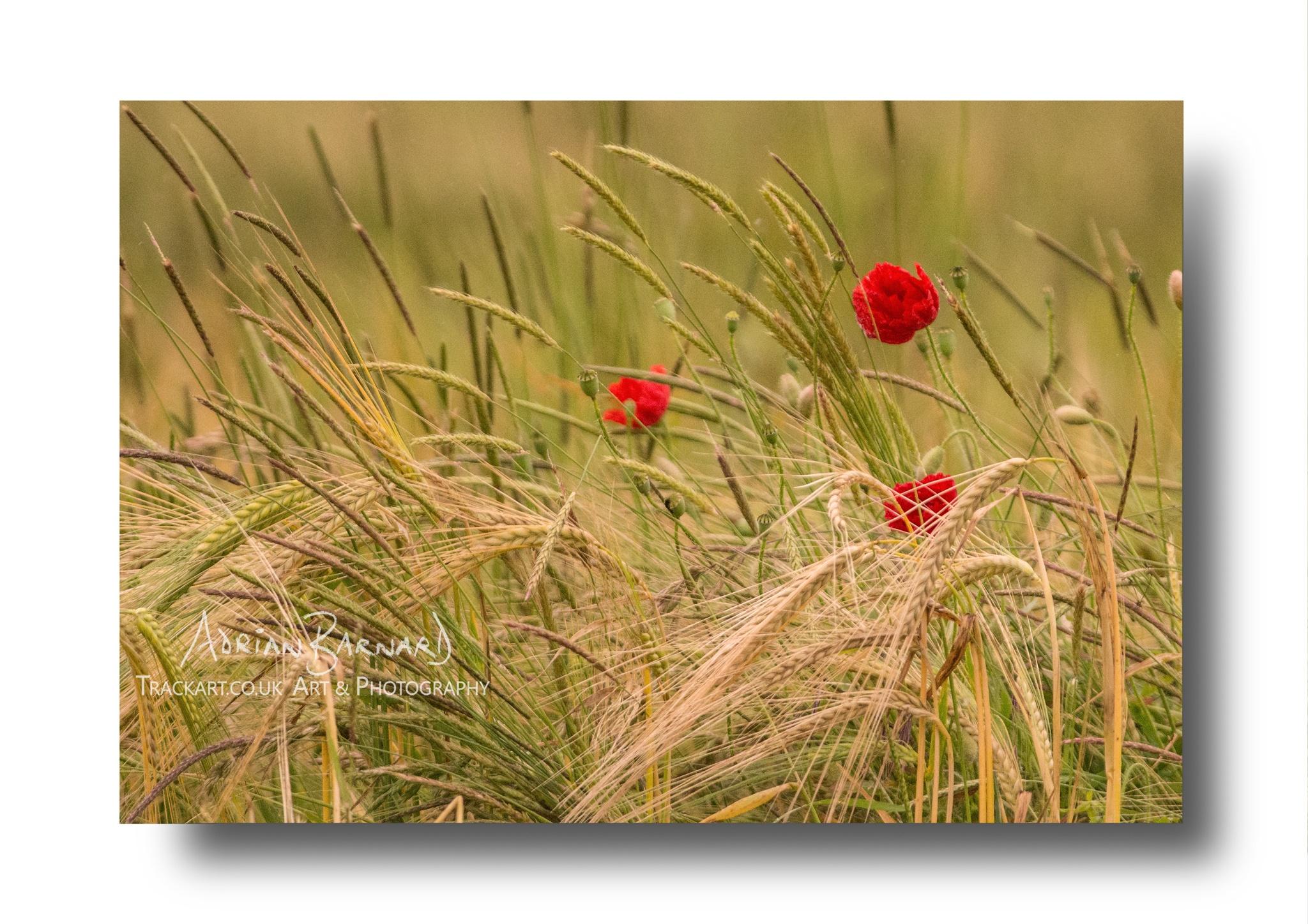 Poppies in Cornfield by Adrian Barnard