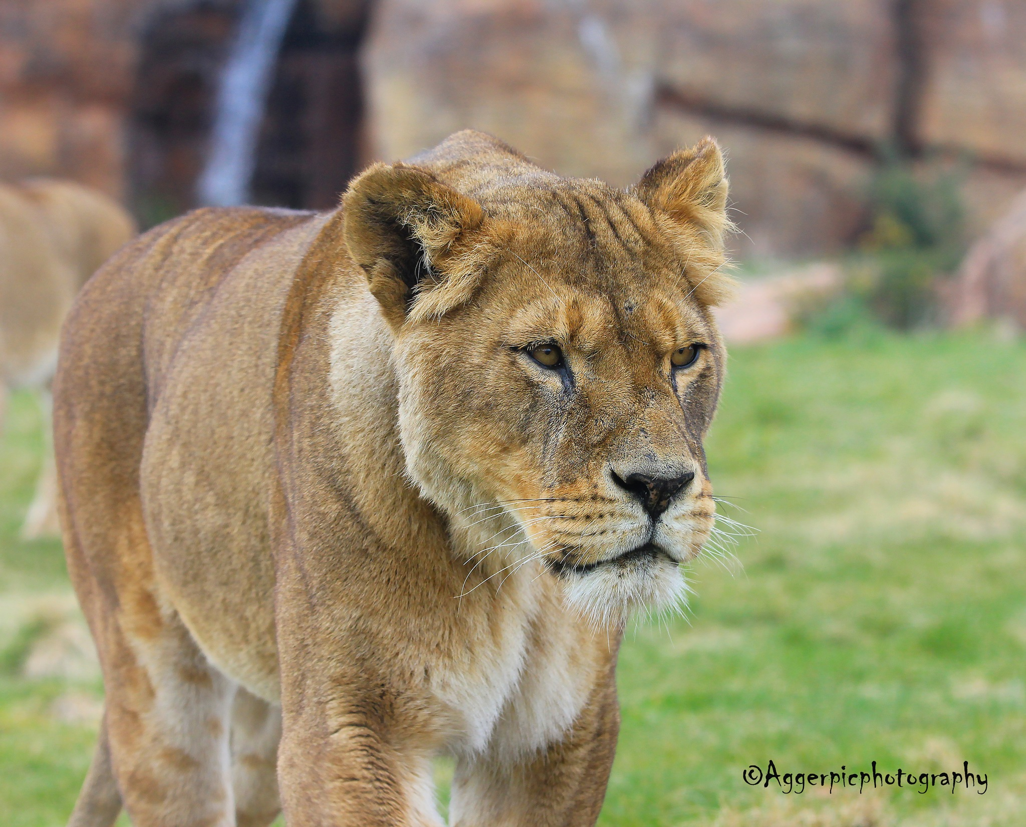Lioness by Aggerpicphotography