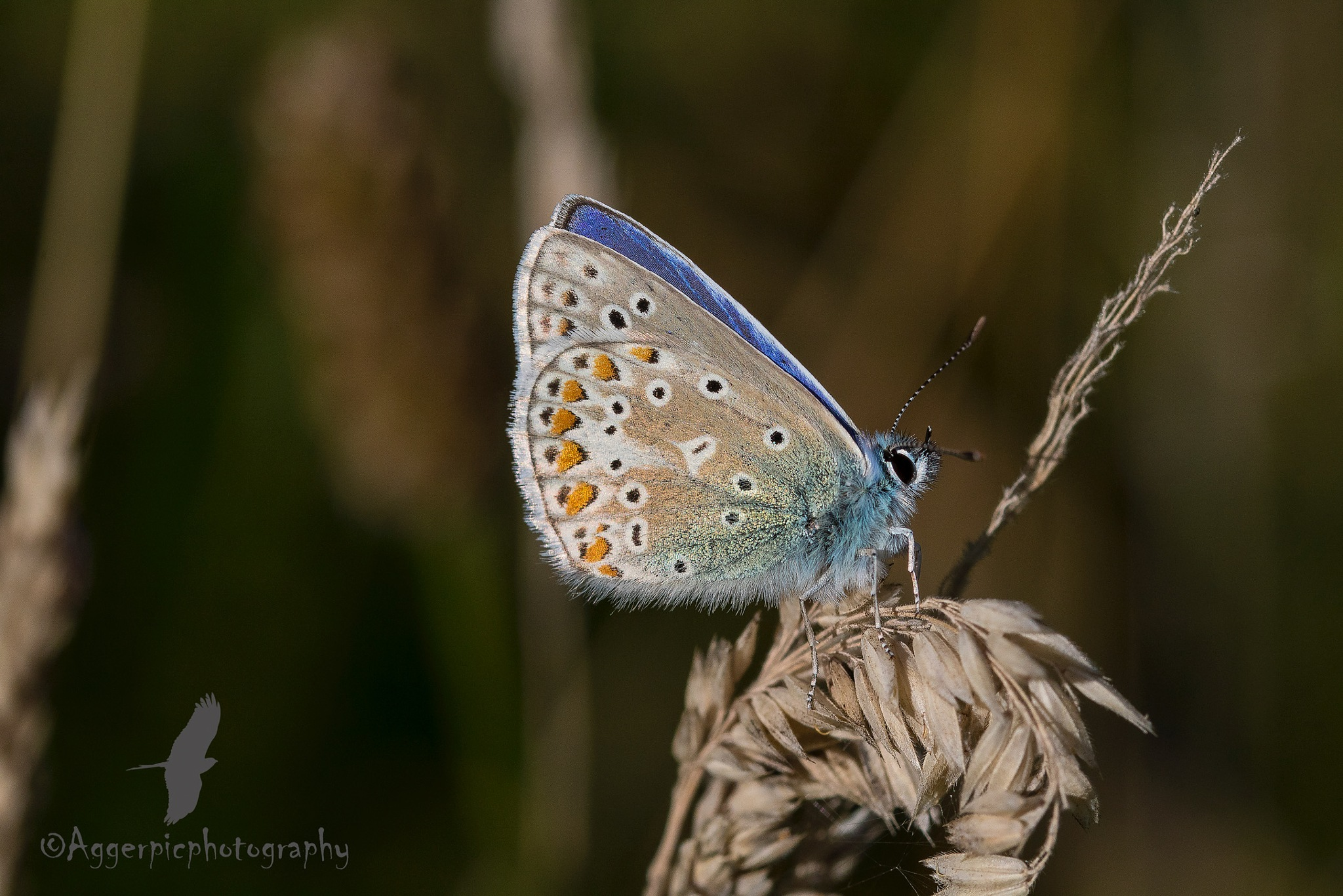 Common Blue Butterfly by Aggerpicphotography