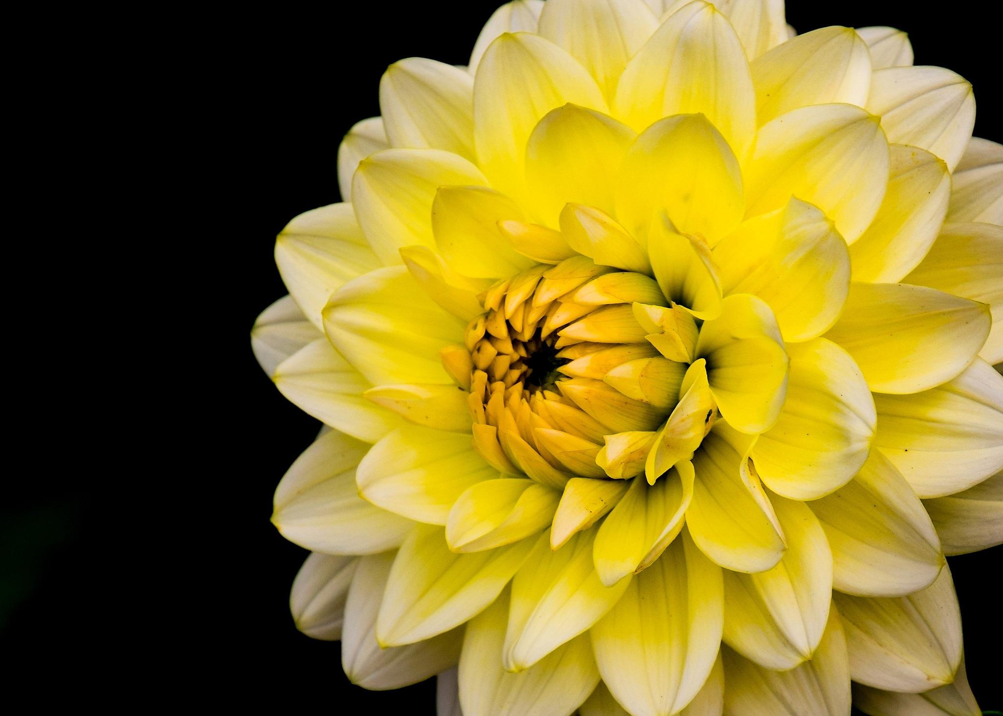 Soft petals. by Caron York