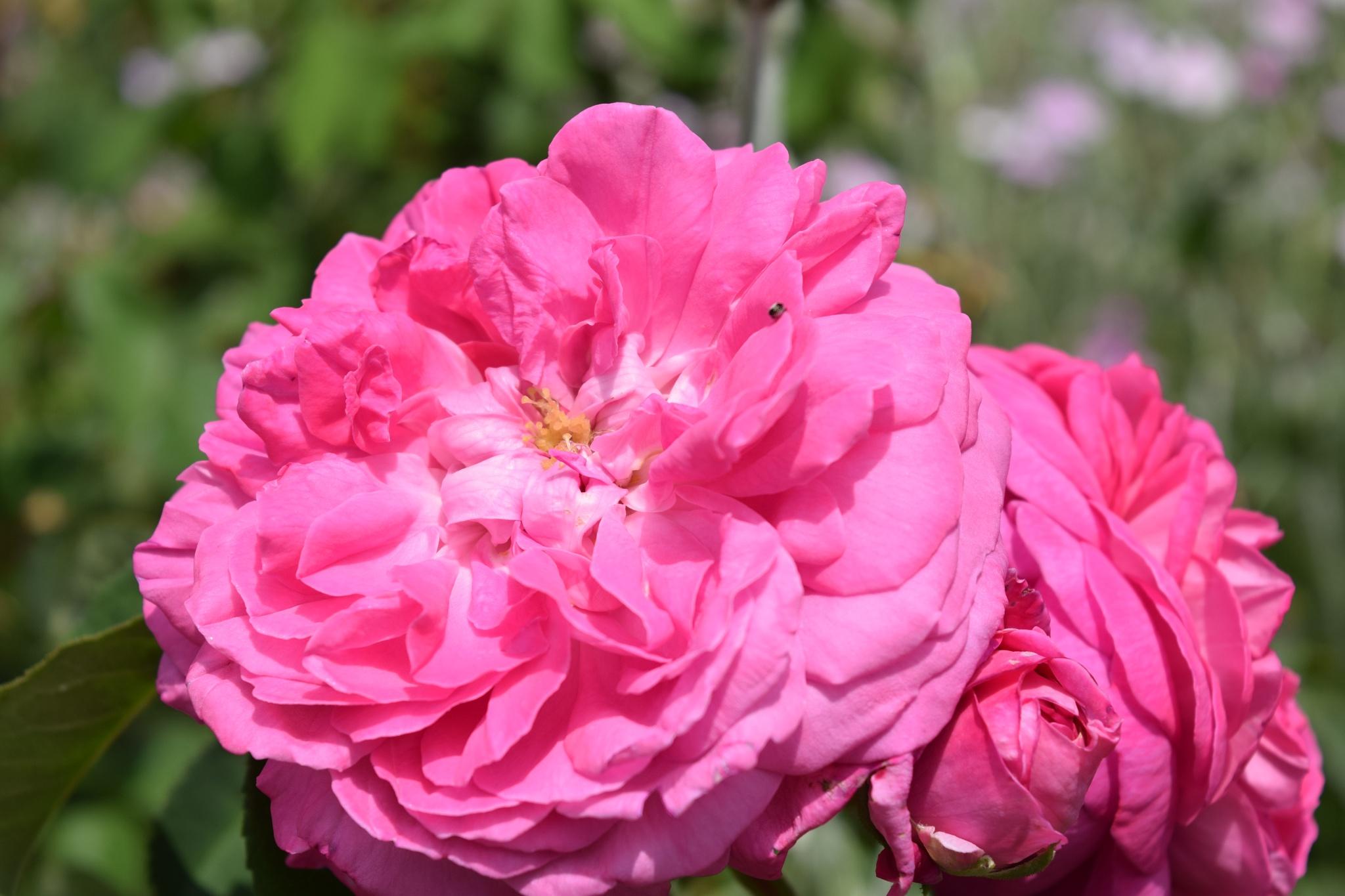 Amazing Rose Garden by Sait M. Ilhaner