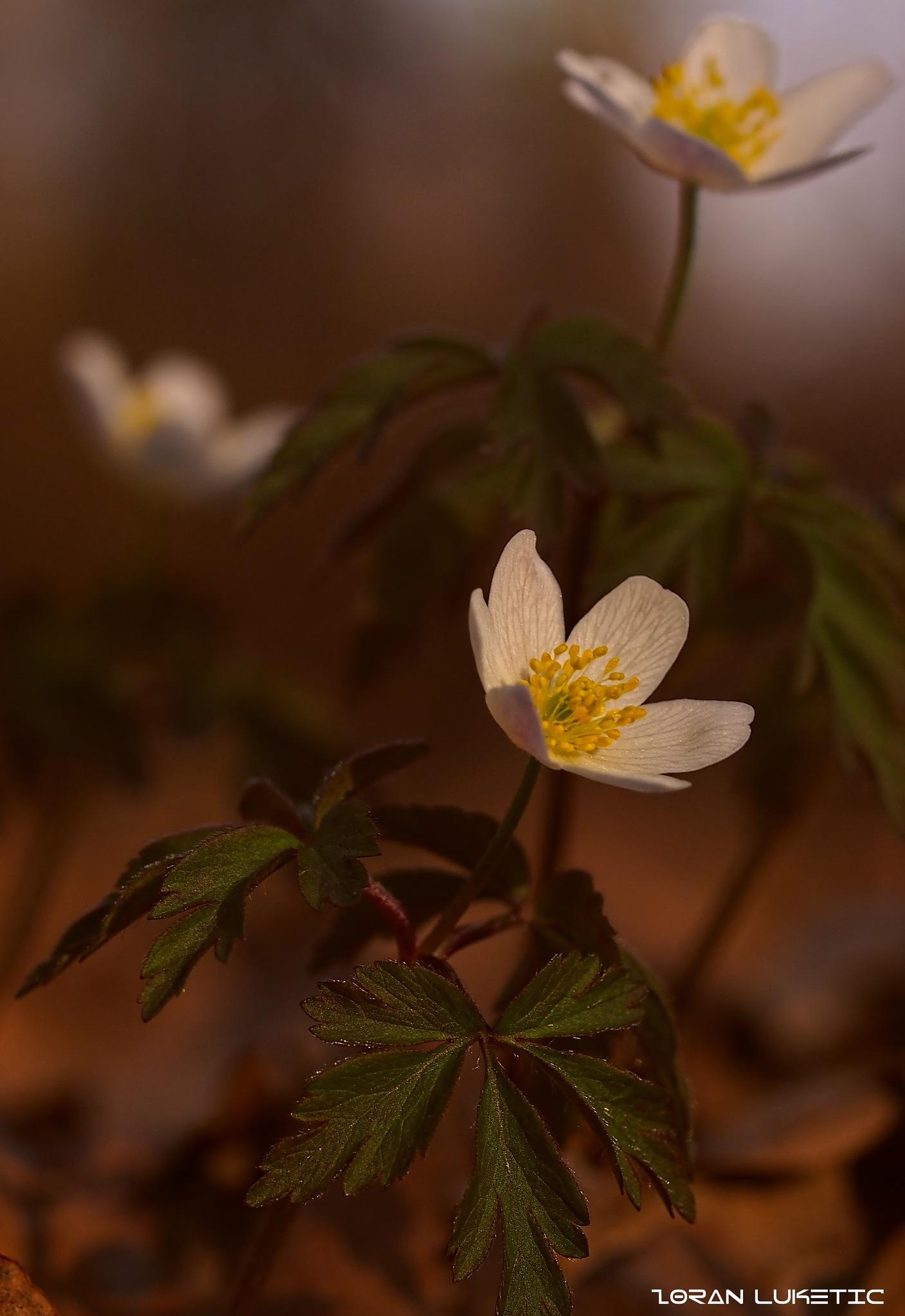 Flowers by zoki