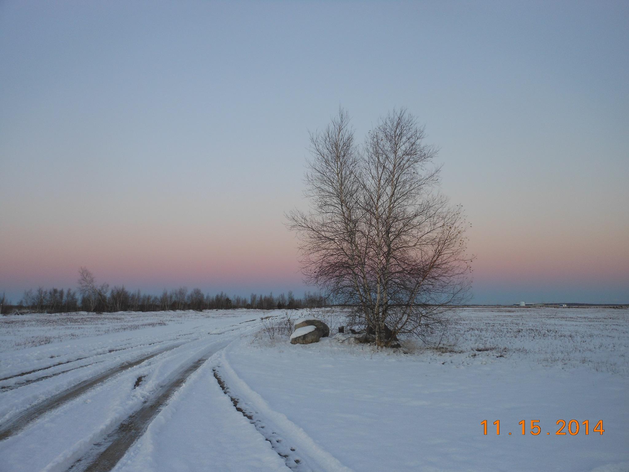 Birch Tree by Maryalyne Roach