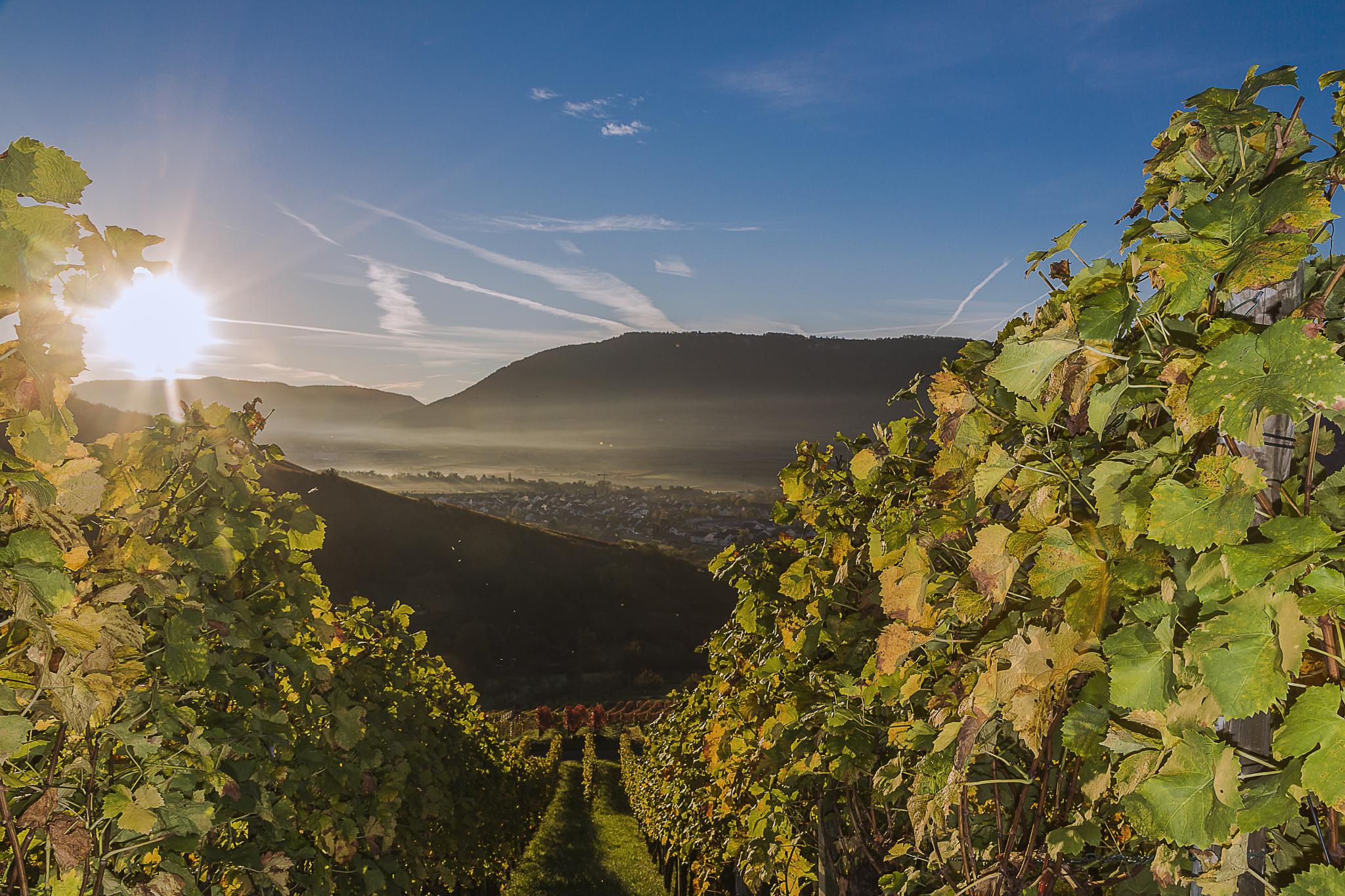 Autumn 2014 at a Vineyard by Michael Alle