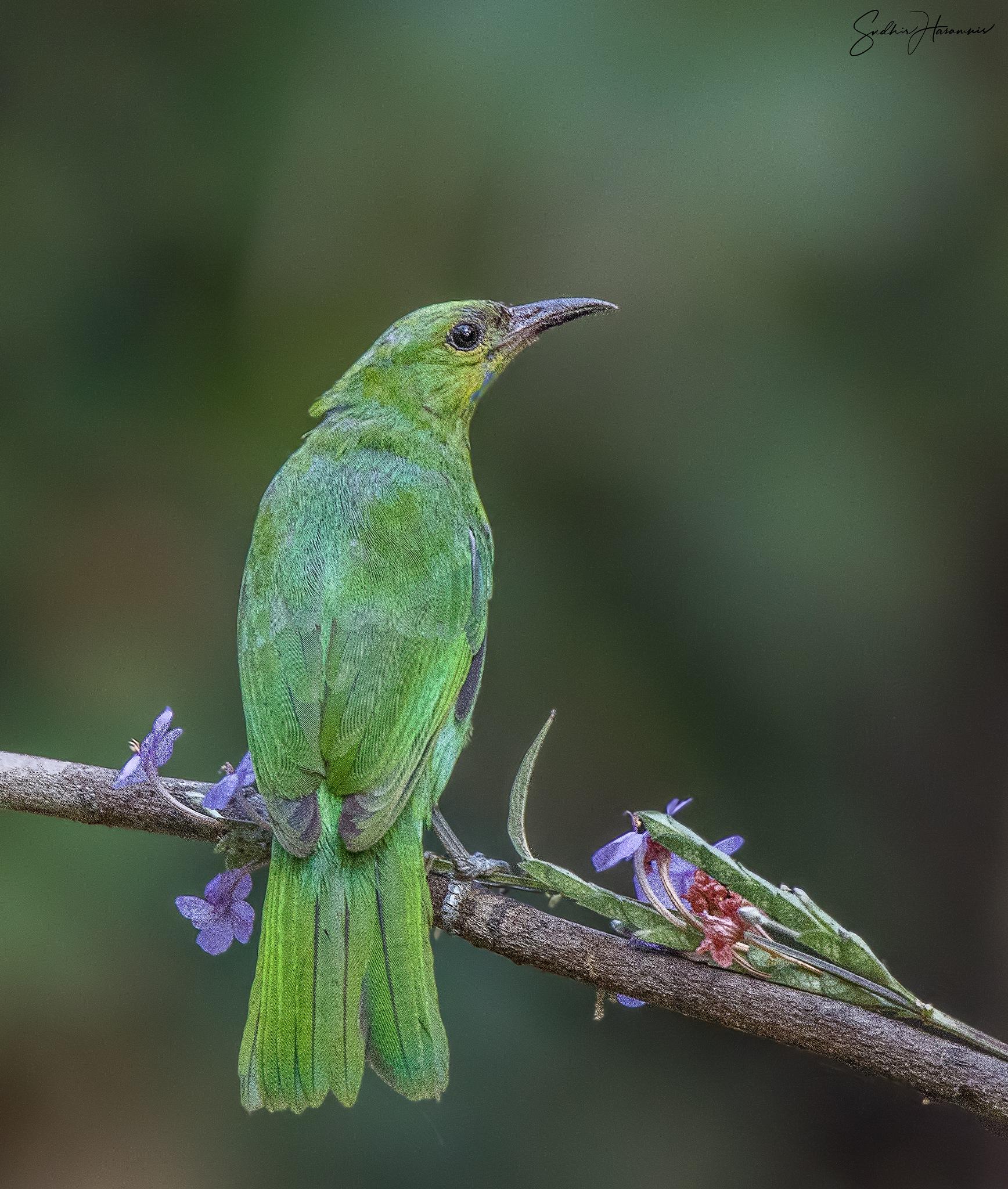 Photo in Nature #leafbird #birds #endemic #dandeli