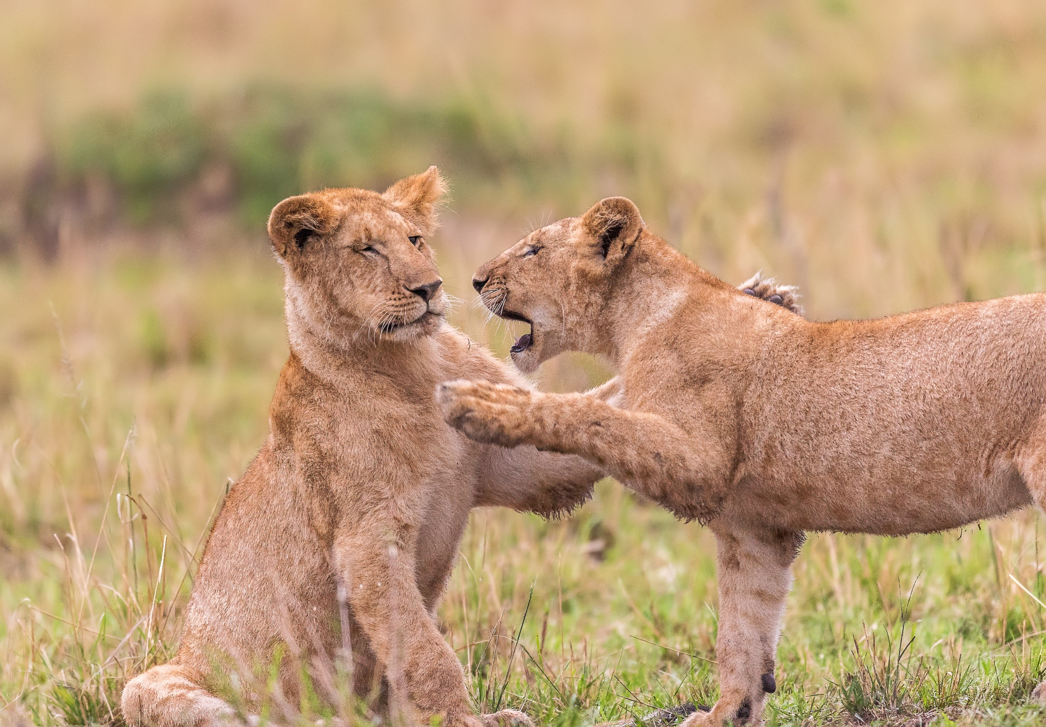Friendly fight by DrSudhir Hasamnis