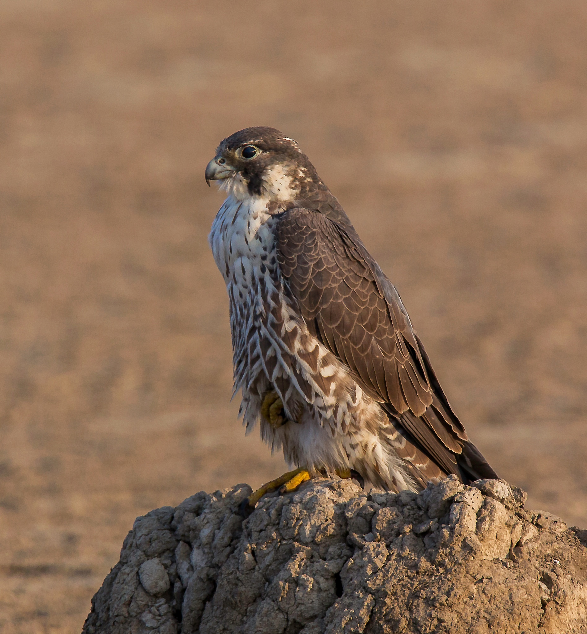 The Speed Machine - Peregrine Falcon by DrSudhir Hasamnis