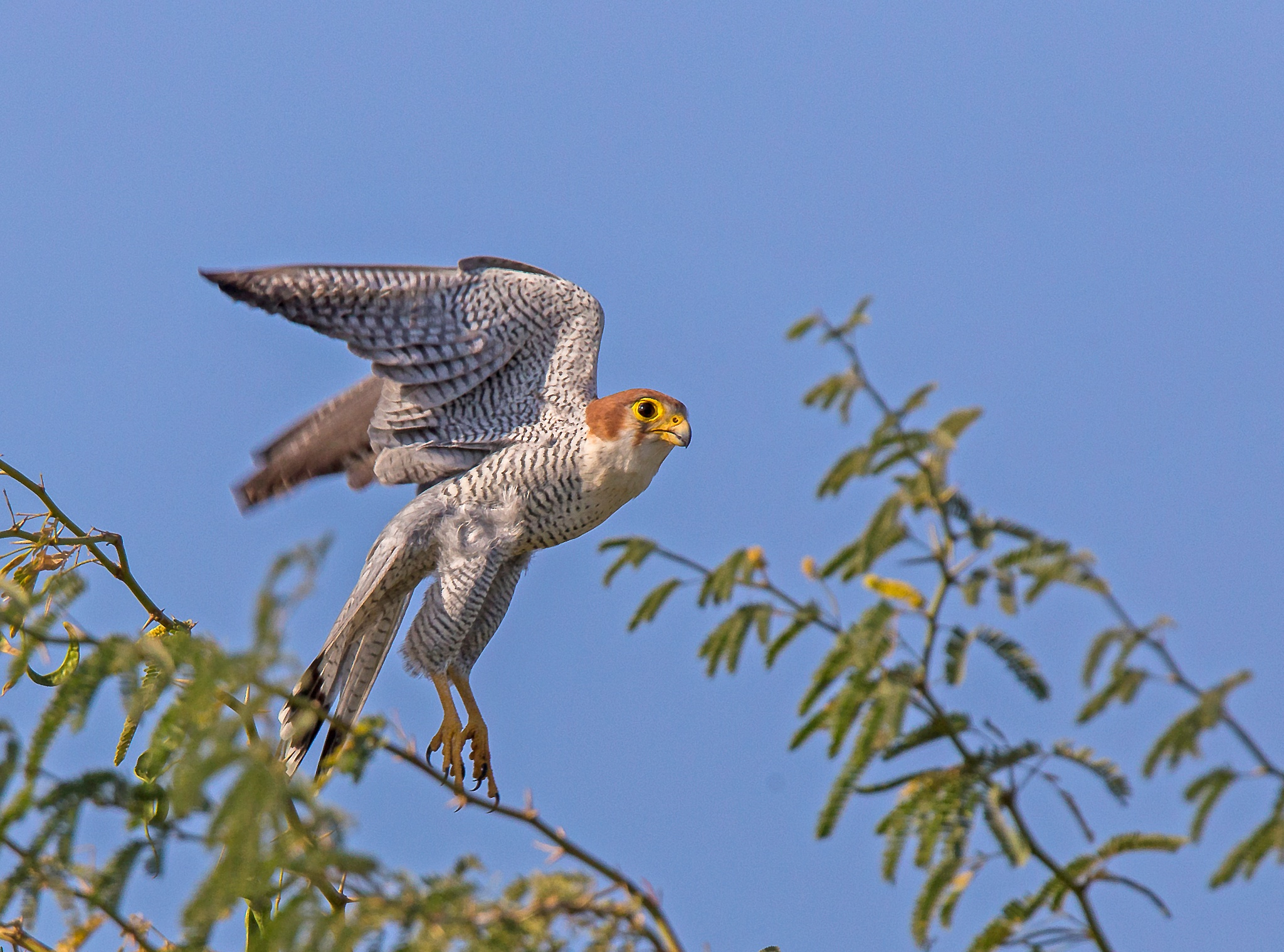 Red-necked Falcon take-off by DrSudhir Hasamnis