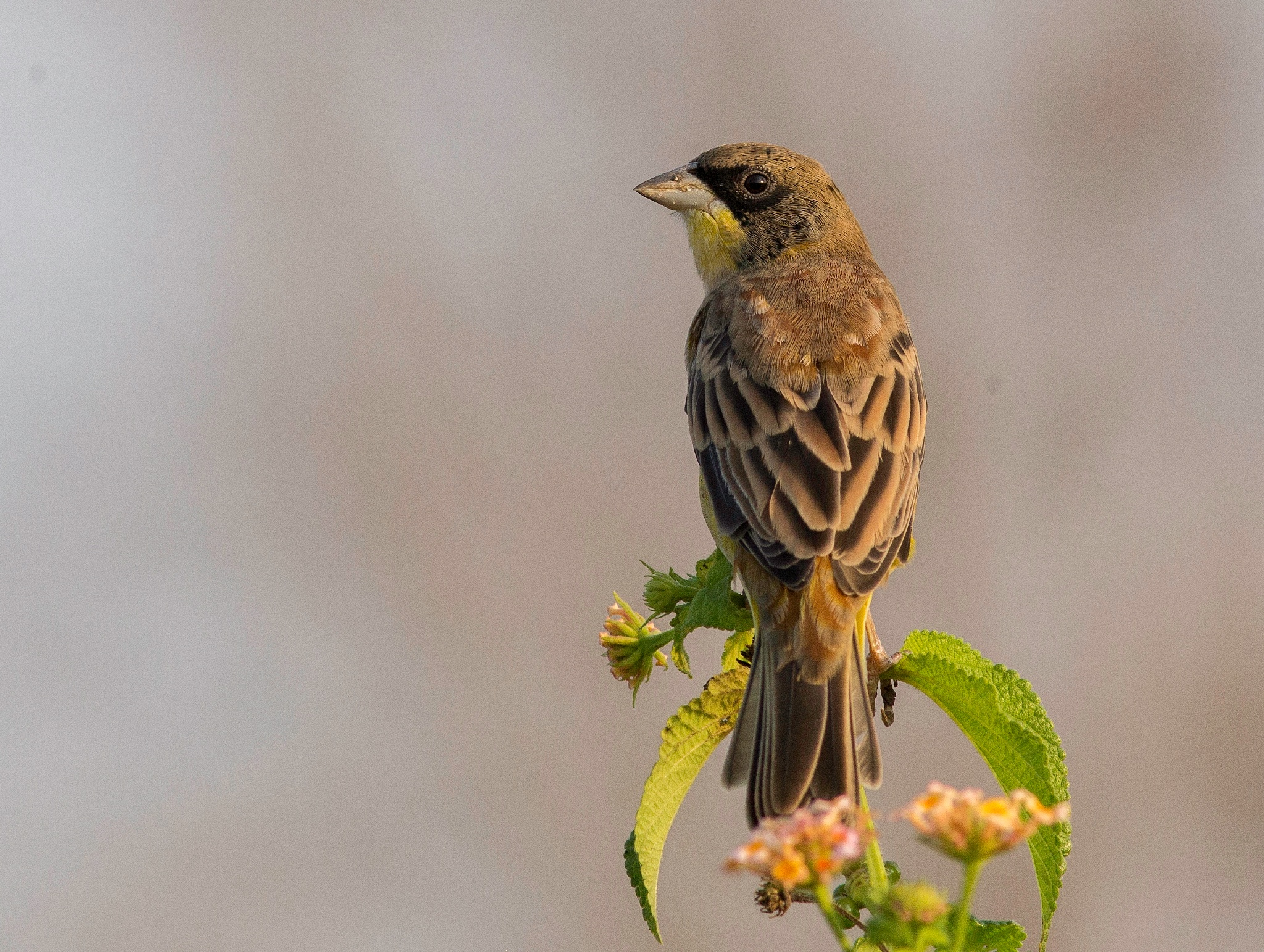 Black-necked Bunting by DrSudhir Hasamnis
