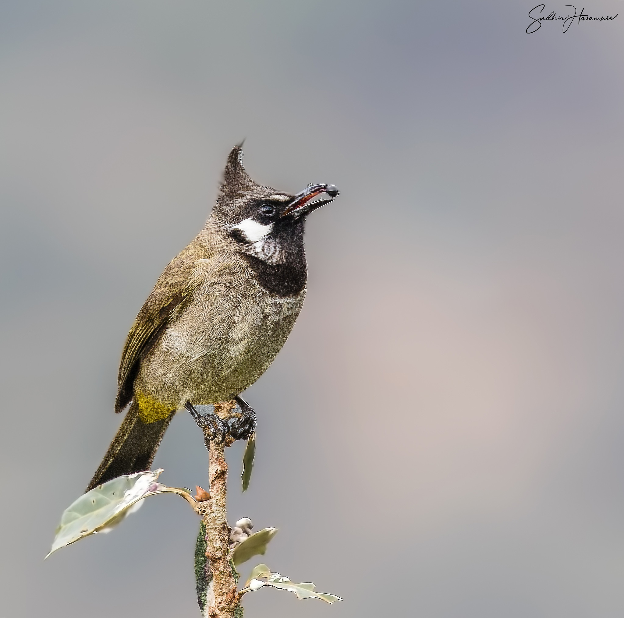 Brown Crested by DrSudhir Hasamnis