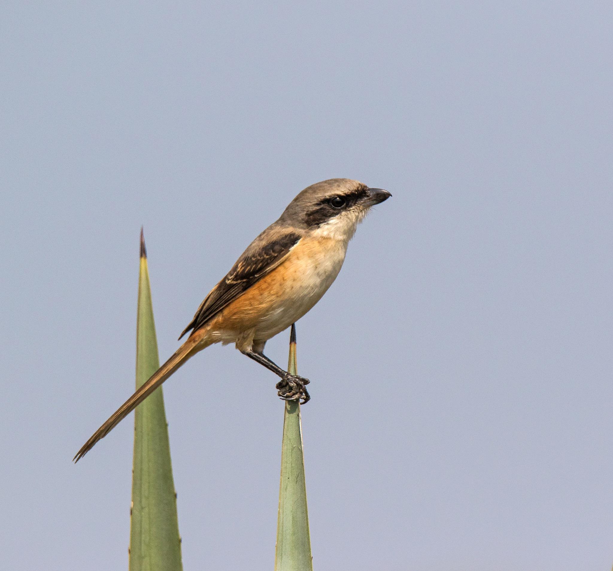 Long-tailed Shrike by DrSudhir Hasamnis