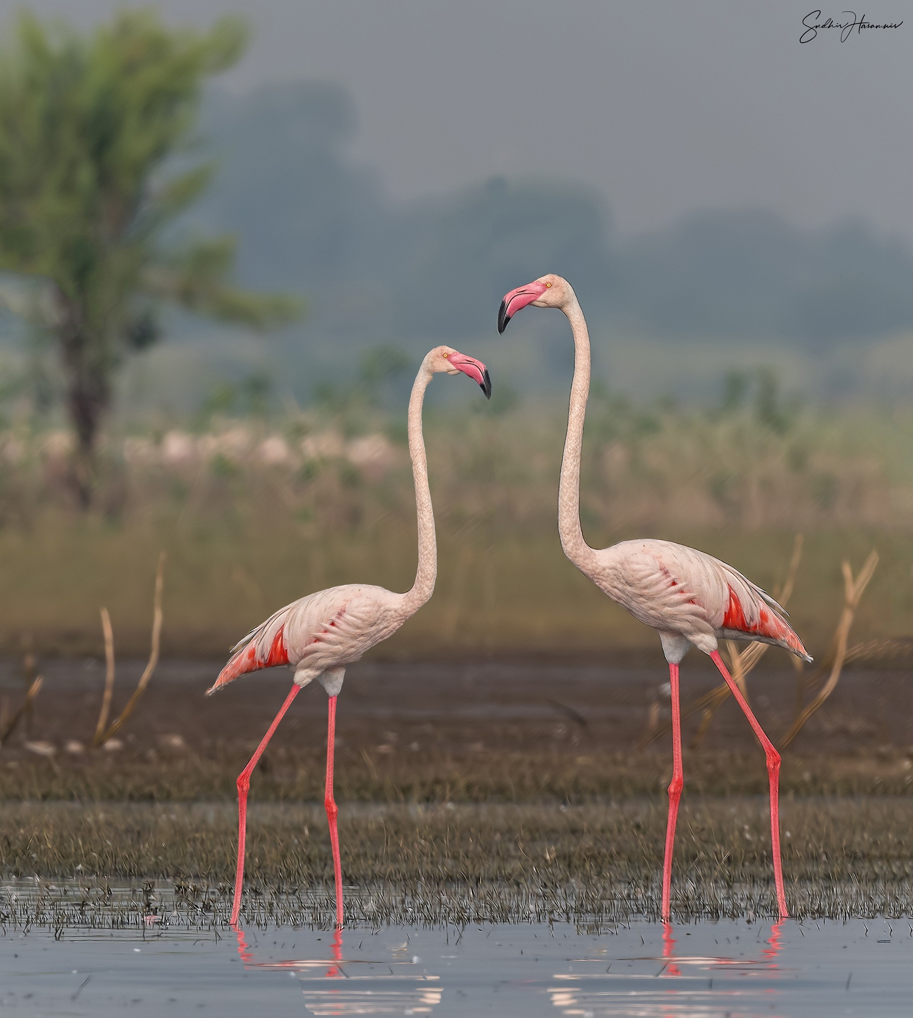 Photo in Nature #flamingos #courtship #birds #migrants #bhigwan